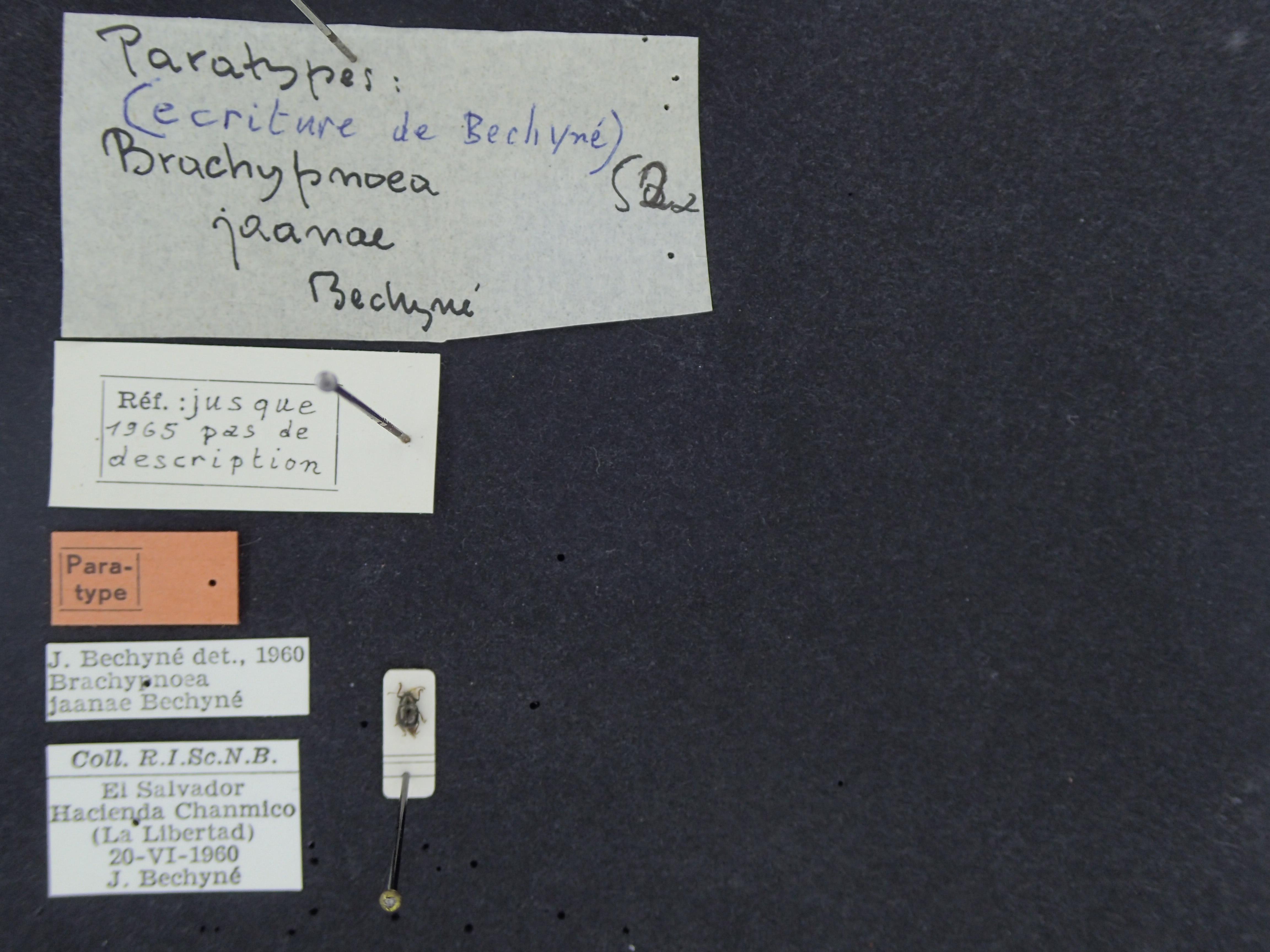 BE-RBINS-ENT Brachypnoea jaanae  K30_D02_049 Label.JPG