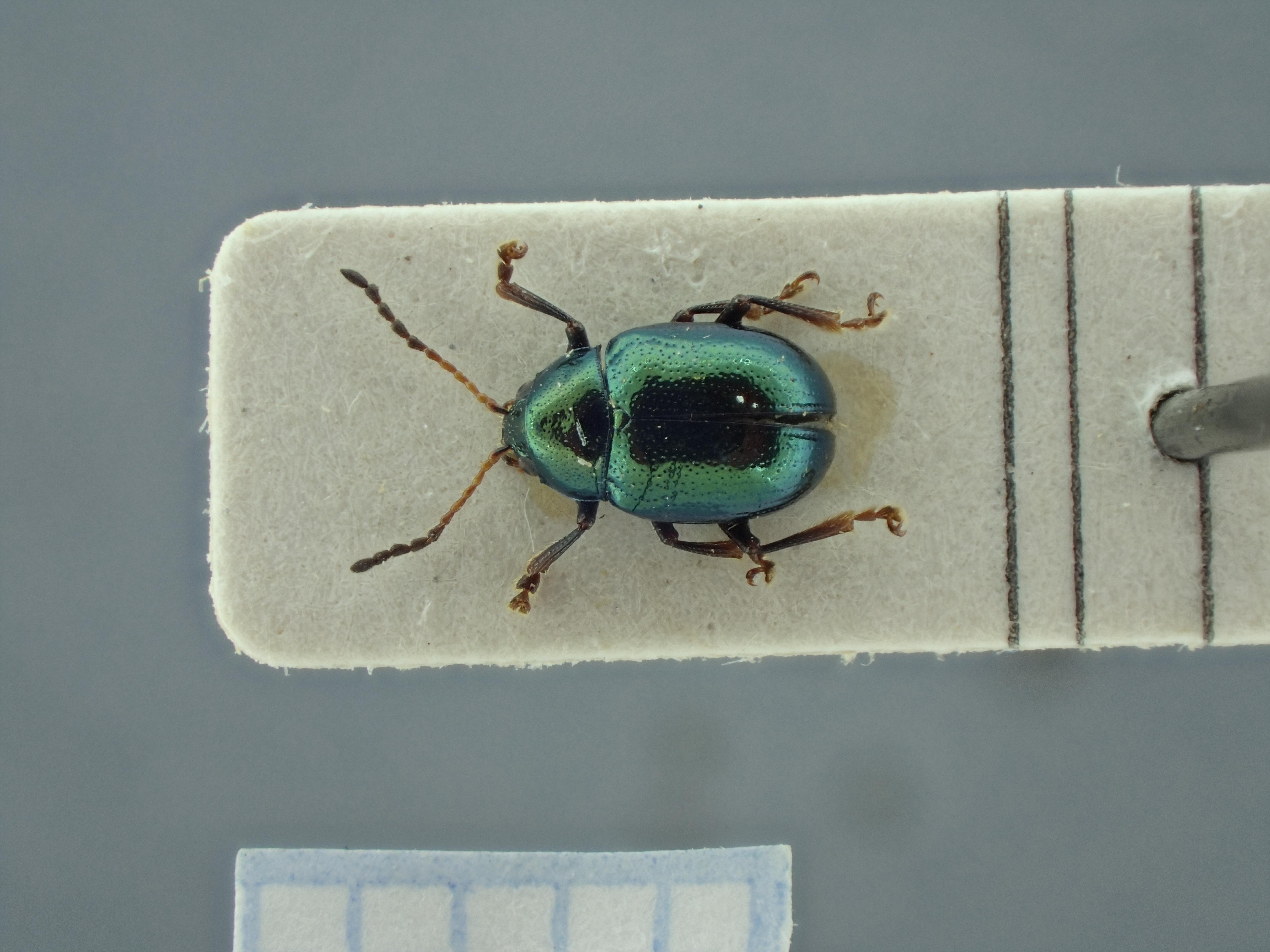 BE-RBINS-ENT Brachypnoea viridis K30_D02_114 Dorsal.jpg