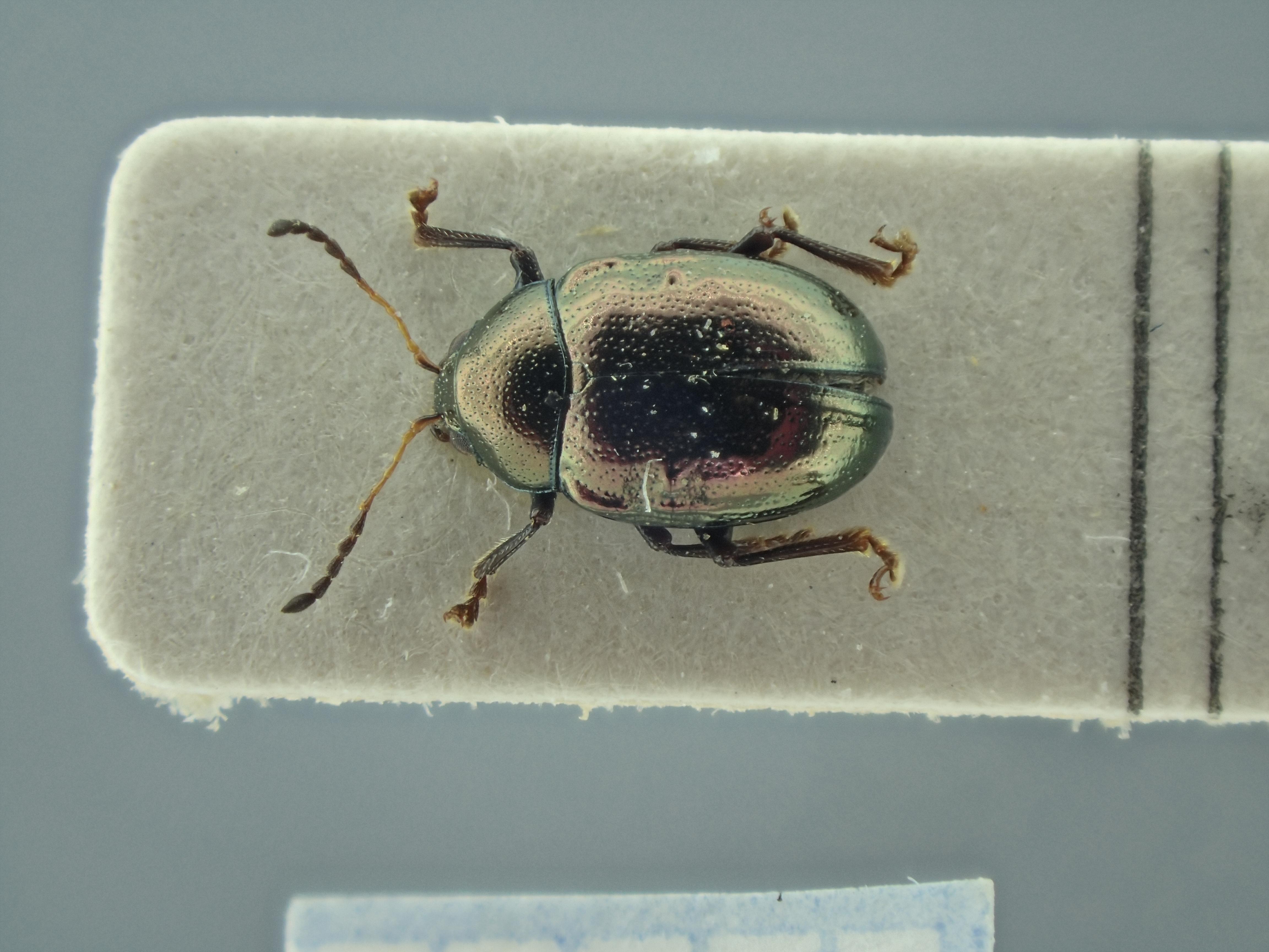 BE-RBINS-ENT Brachypnoea viridis K30_D02_117 Dorsal.jpg