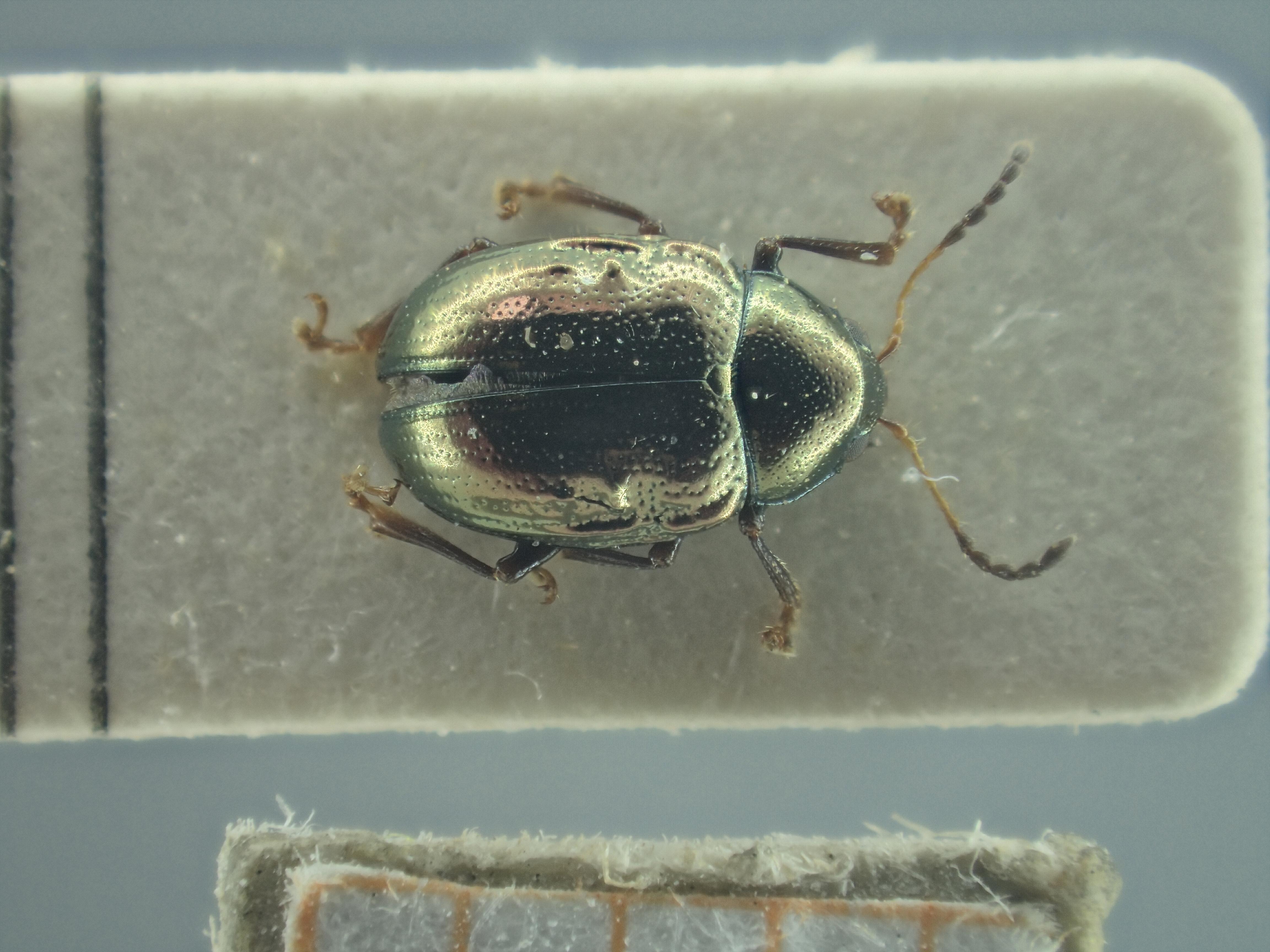 BE-RBINS-ENT Brachypnoea viridis K30_D02_146 Dorsal.jpg
