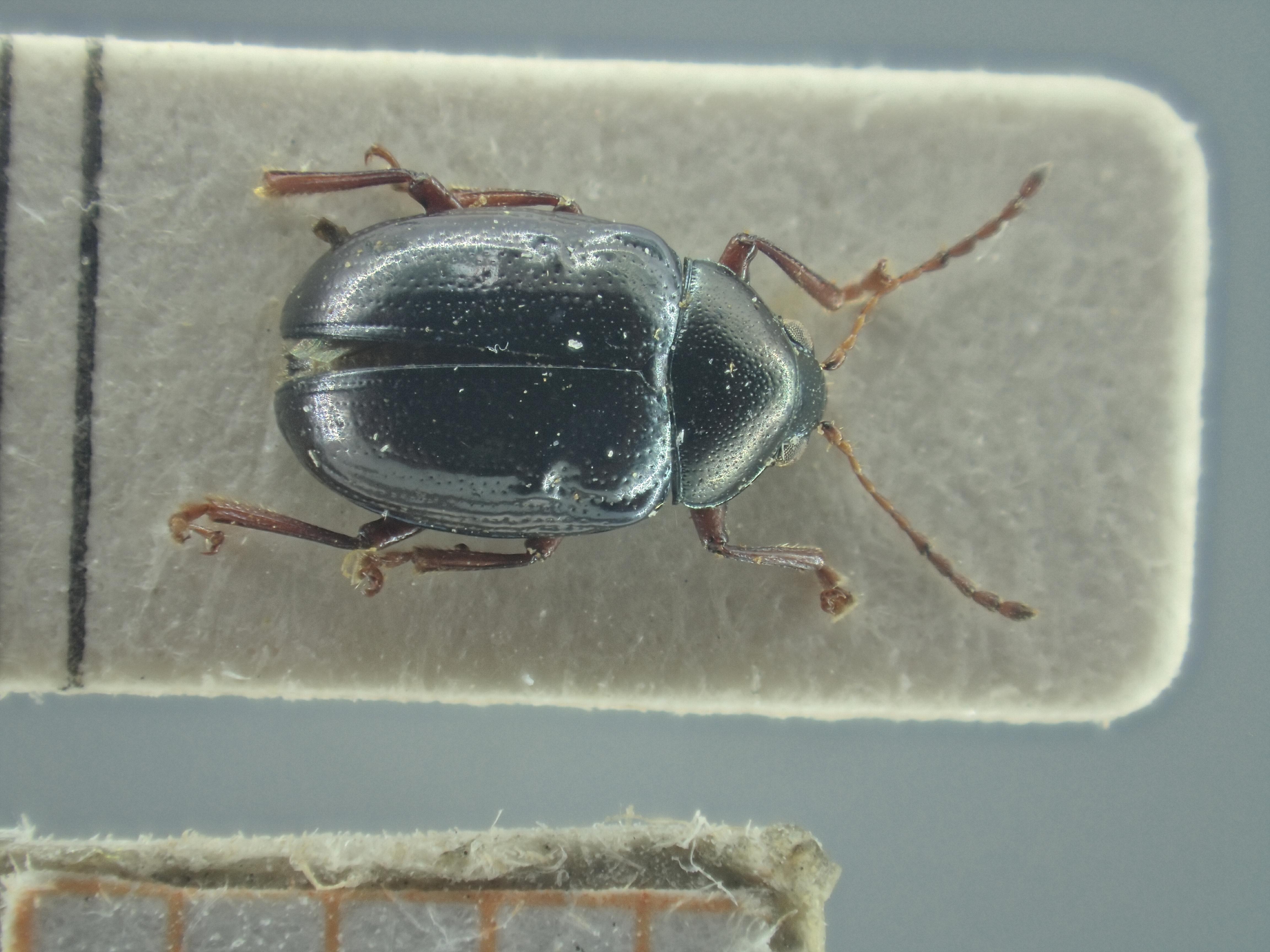 BE-RBINS-ENT Brachypnoea viridis K30_D02_150 Dorsal.jpg