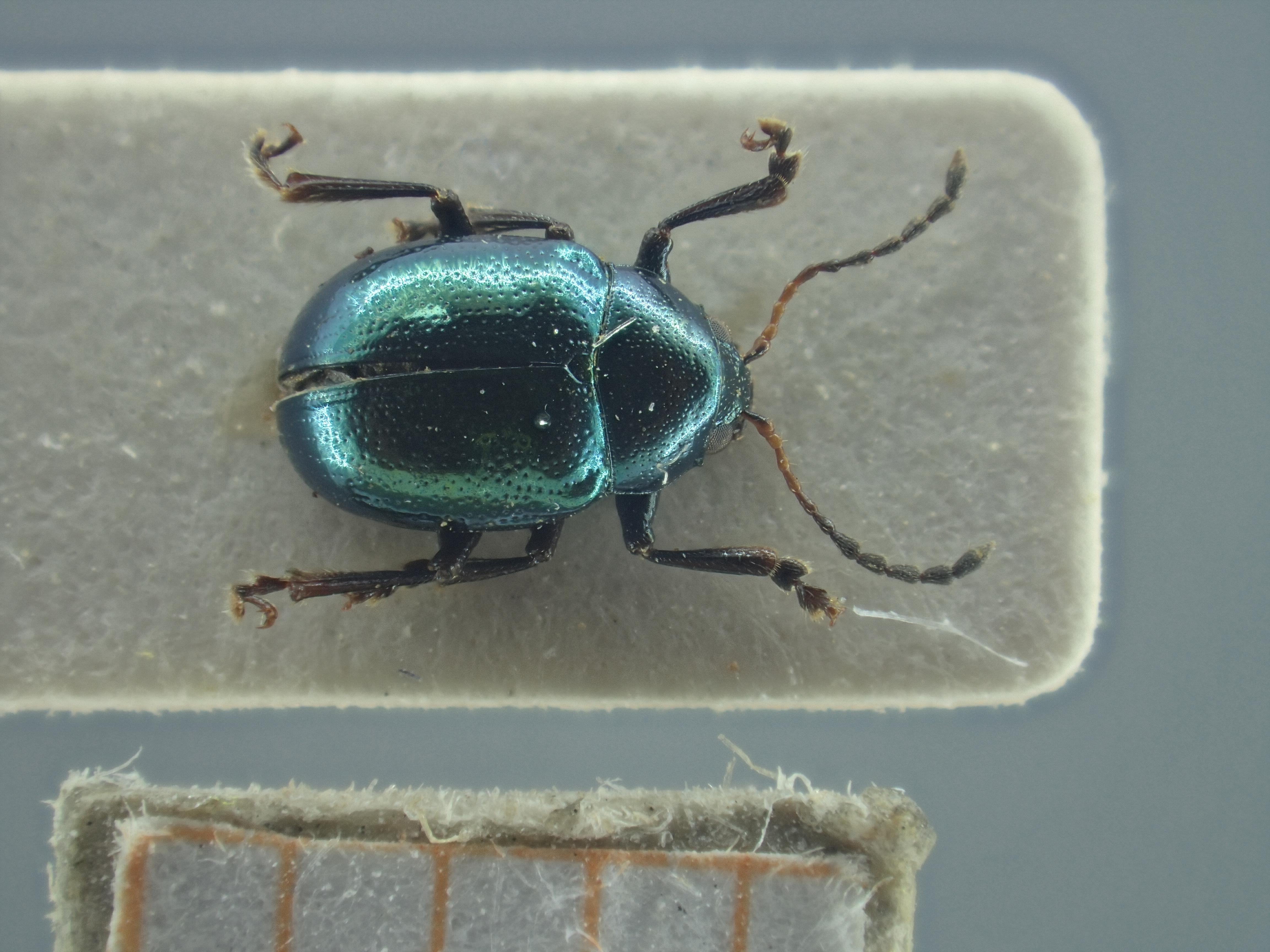 BE-RBINS-ENT Brachypnoea viridis K30_D02_153 Dorsal.jpg