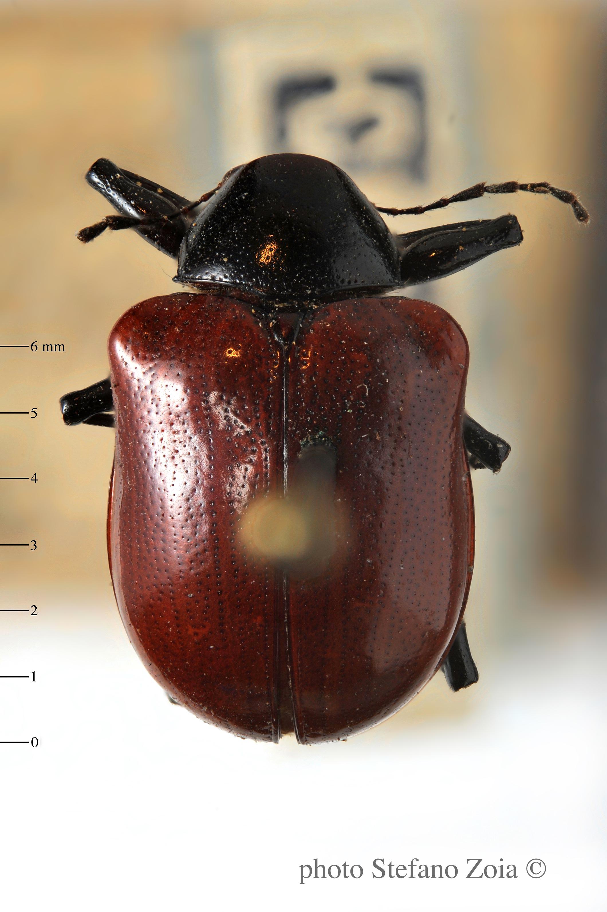 BE-RBINS-ENT Neomenius rufipennis 1 - 7377 - 7405.JPG