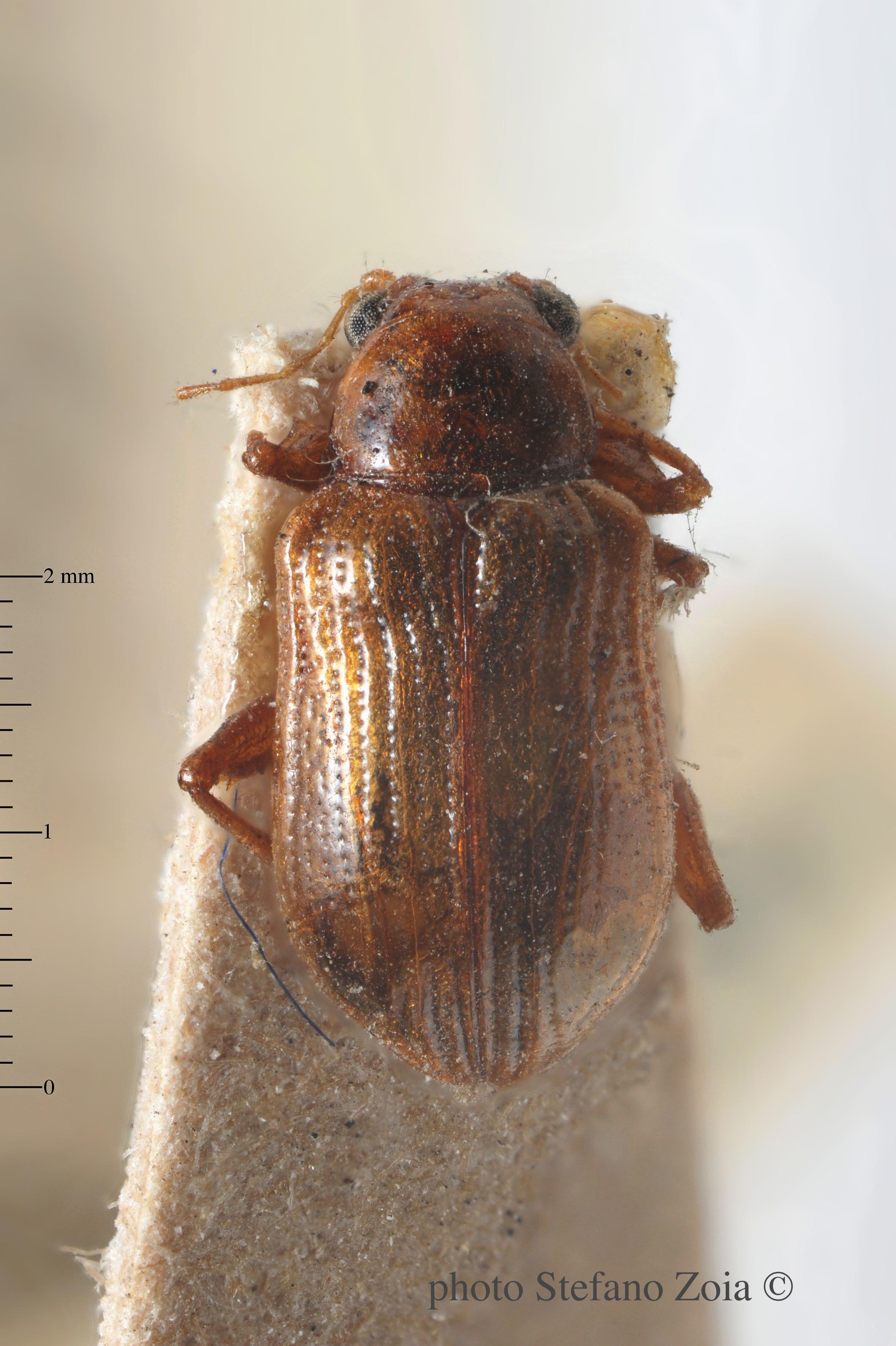 BE-RBINS-ENT Nodostoma vulgaris 1 - 7000 - 7017.JPG