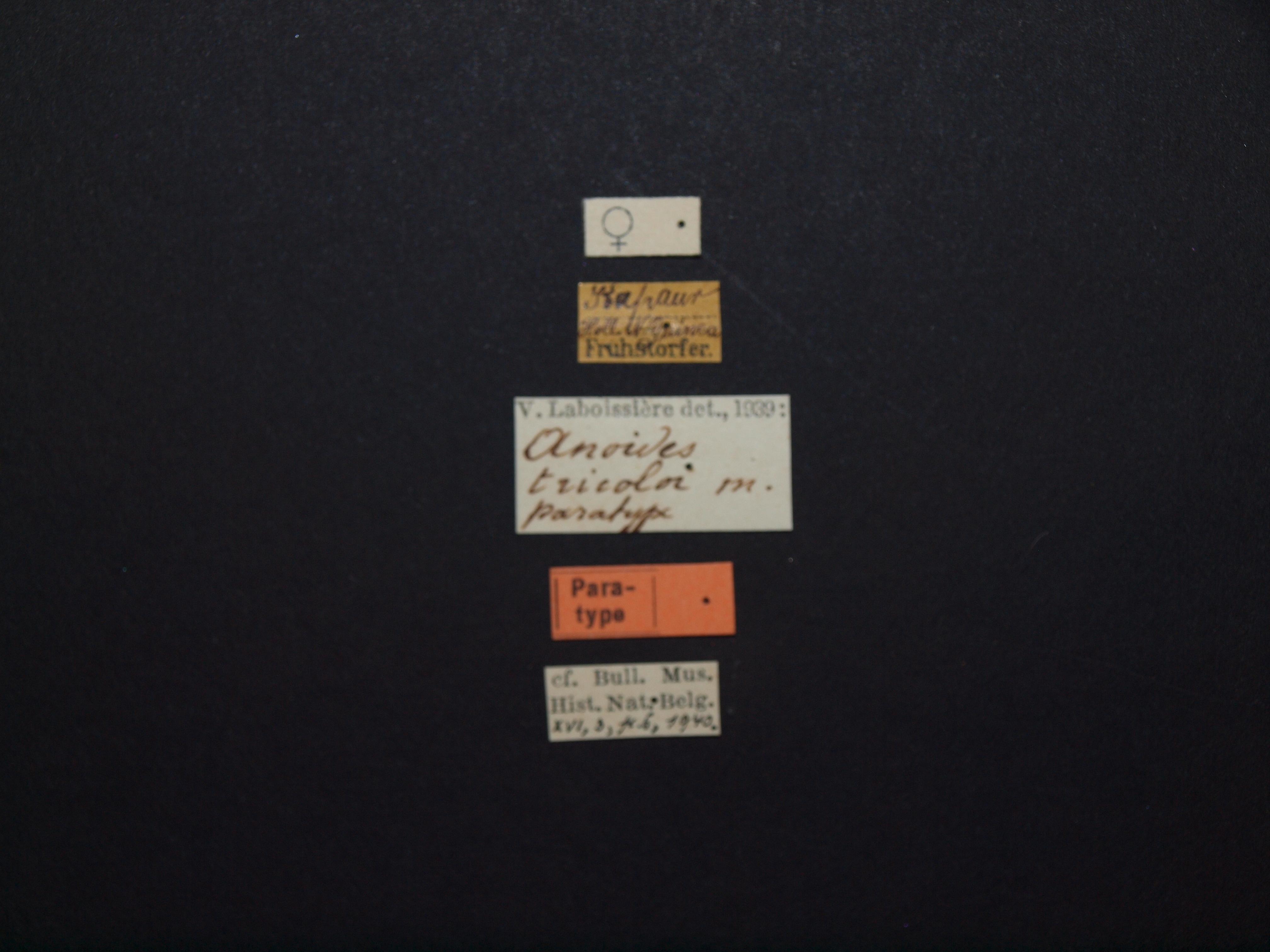 Anoides tricolor pt Lb.JPG