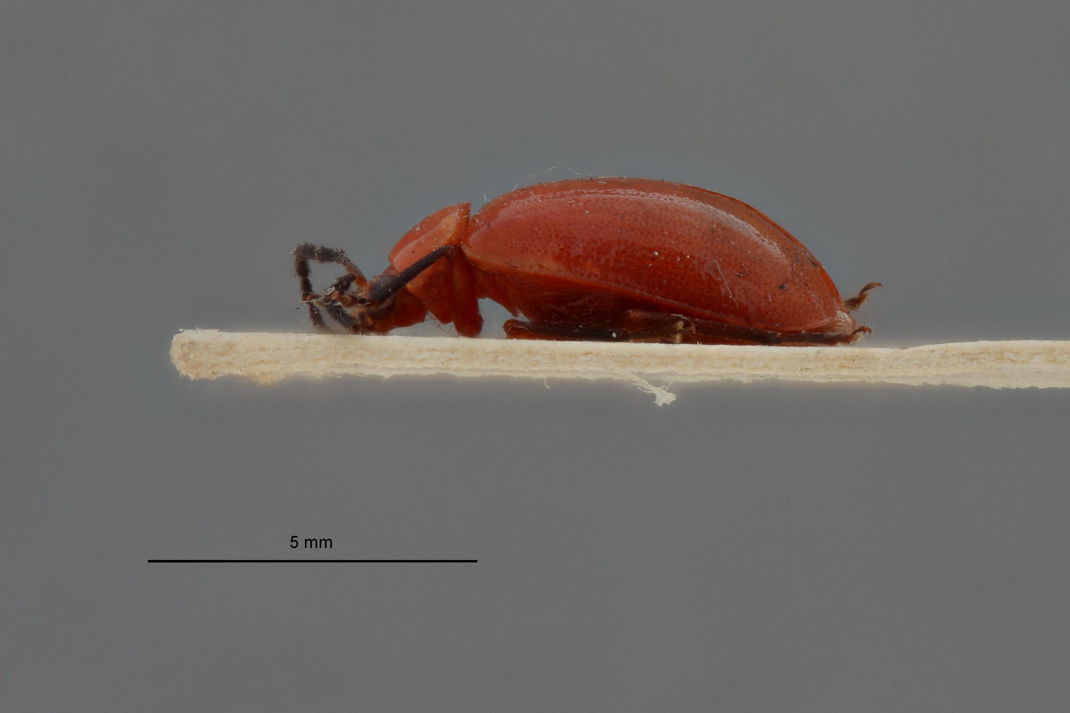 Arcastes astridae t L.jpg