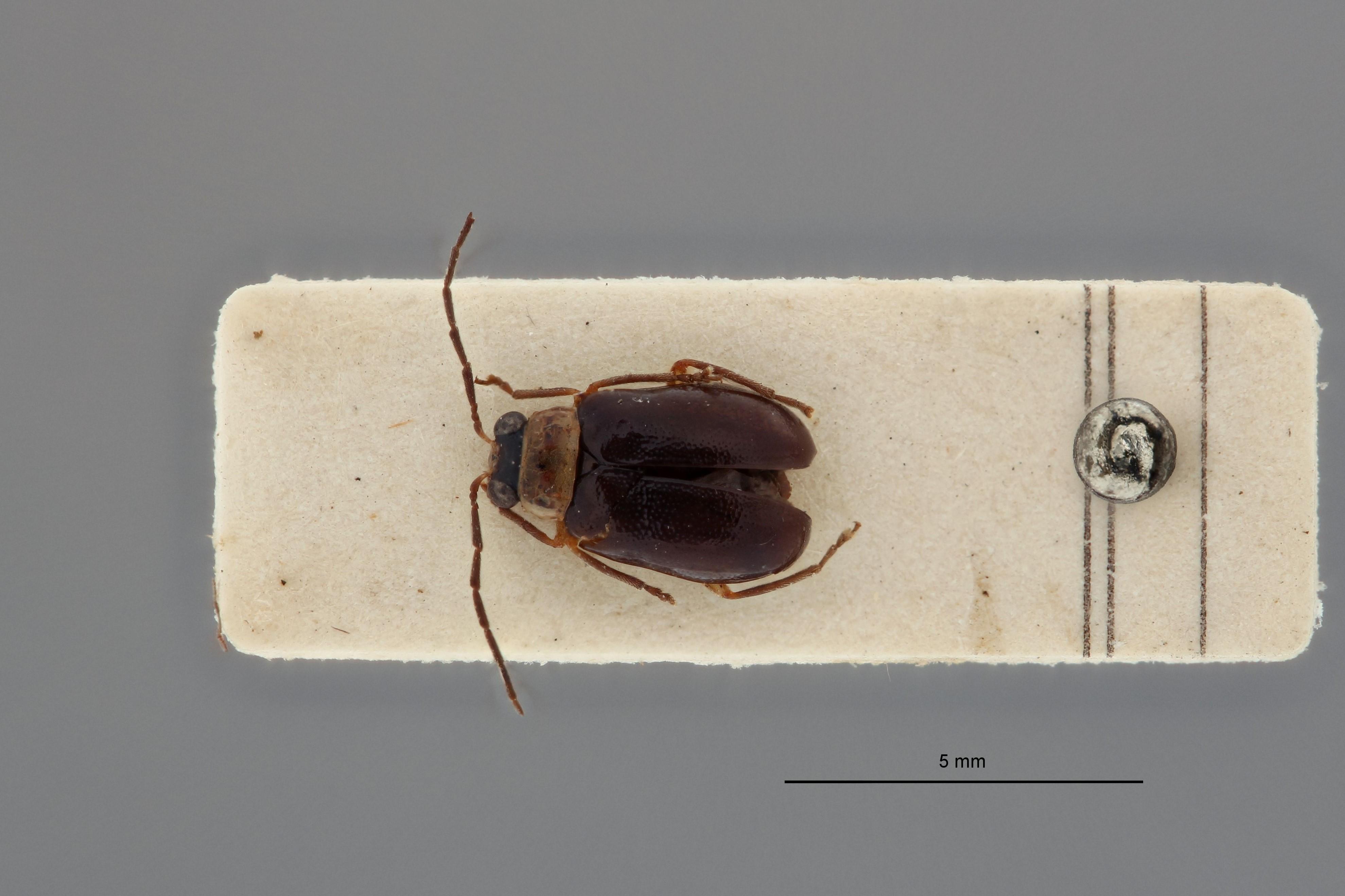 Arthrotus phaseoli t D.jpg