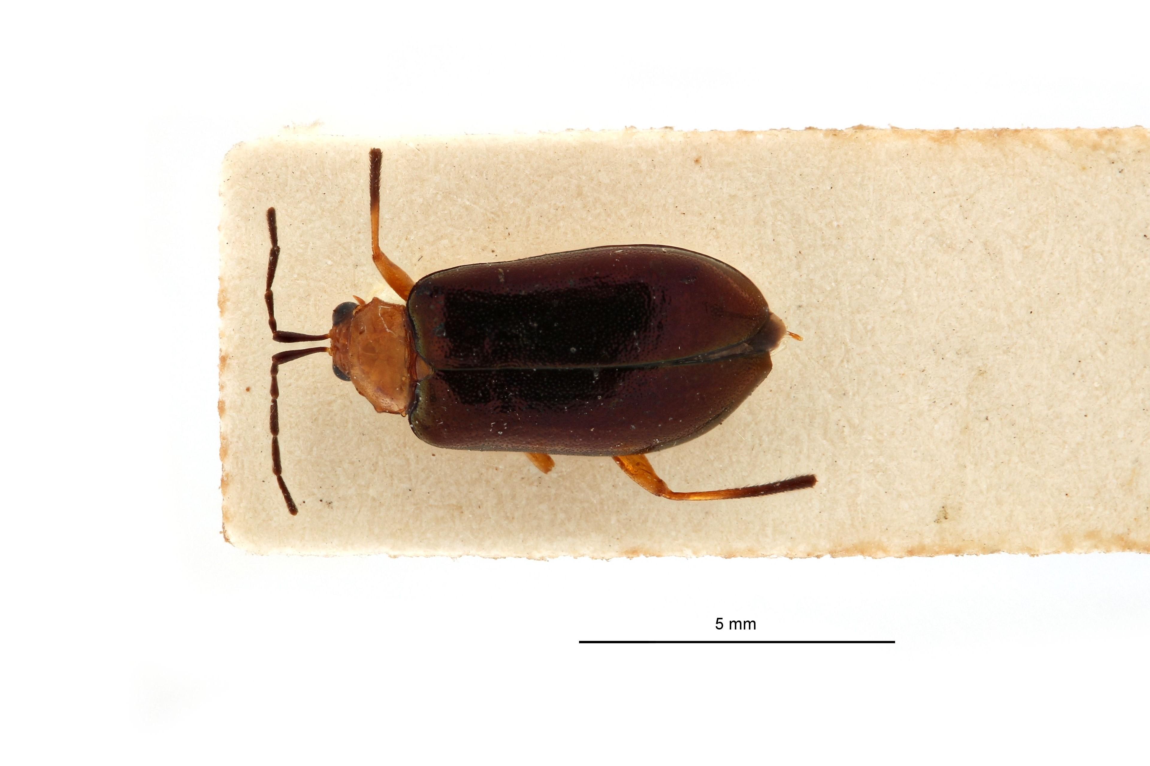Astridella guineensis t D.jpg