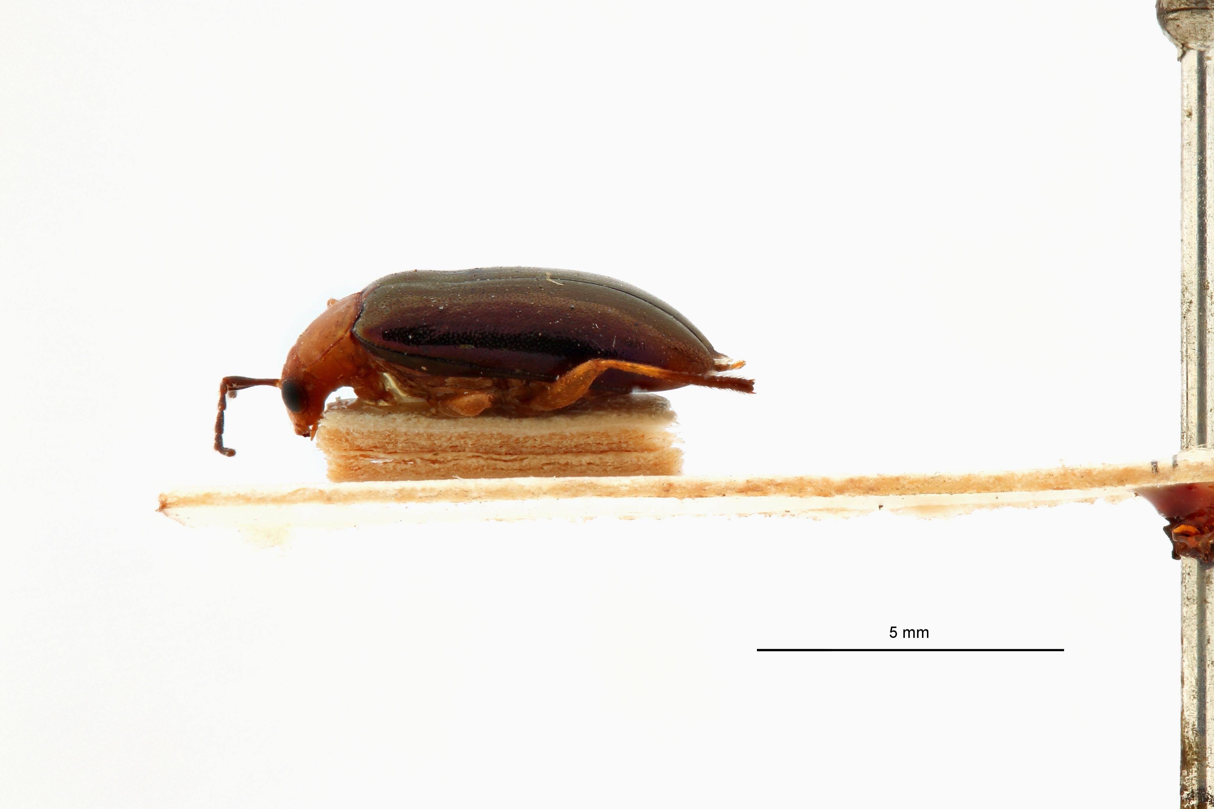 Astridella guineensis t L.jpg