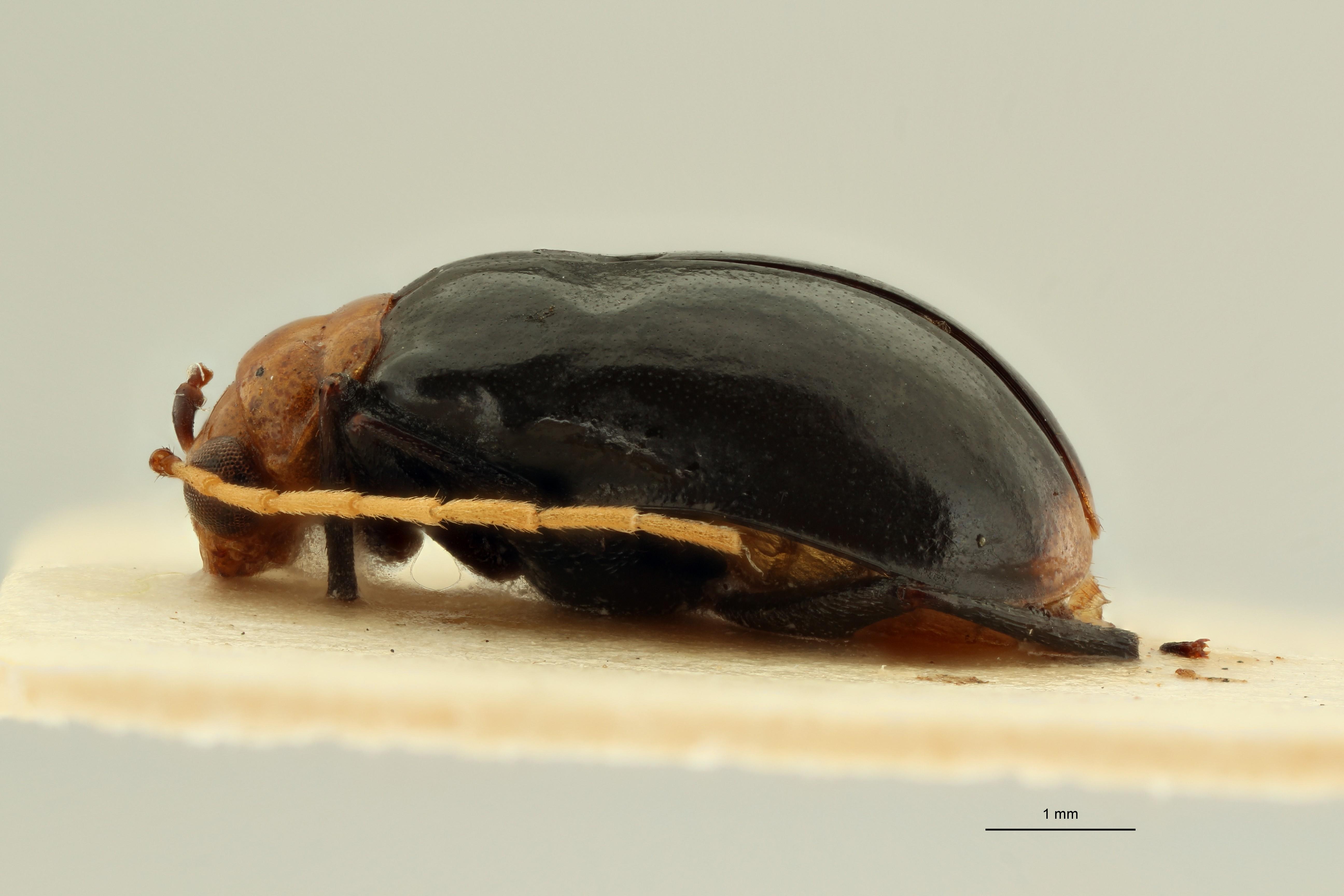 Aulacophora (Aulacophora) pectoralis t L ZS PMax Scaled.jpeg