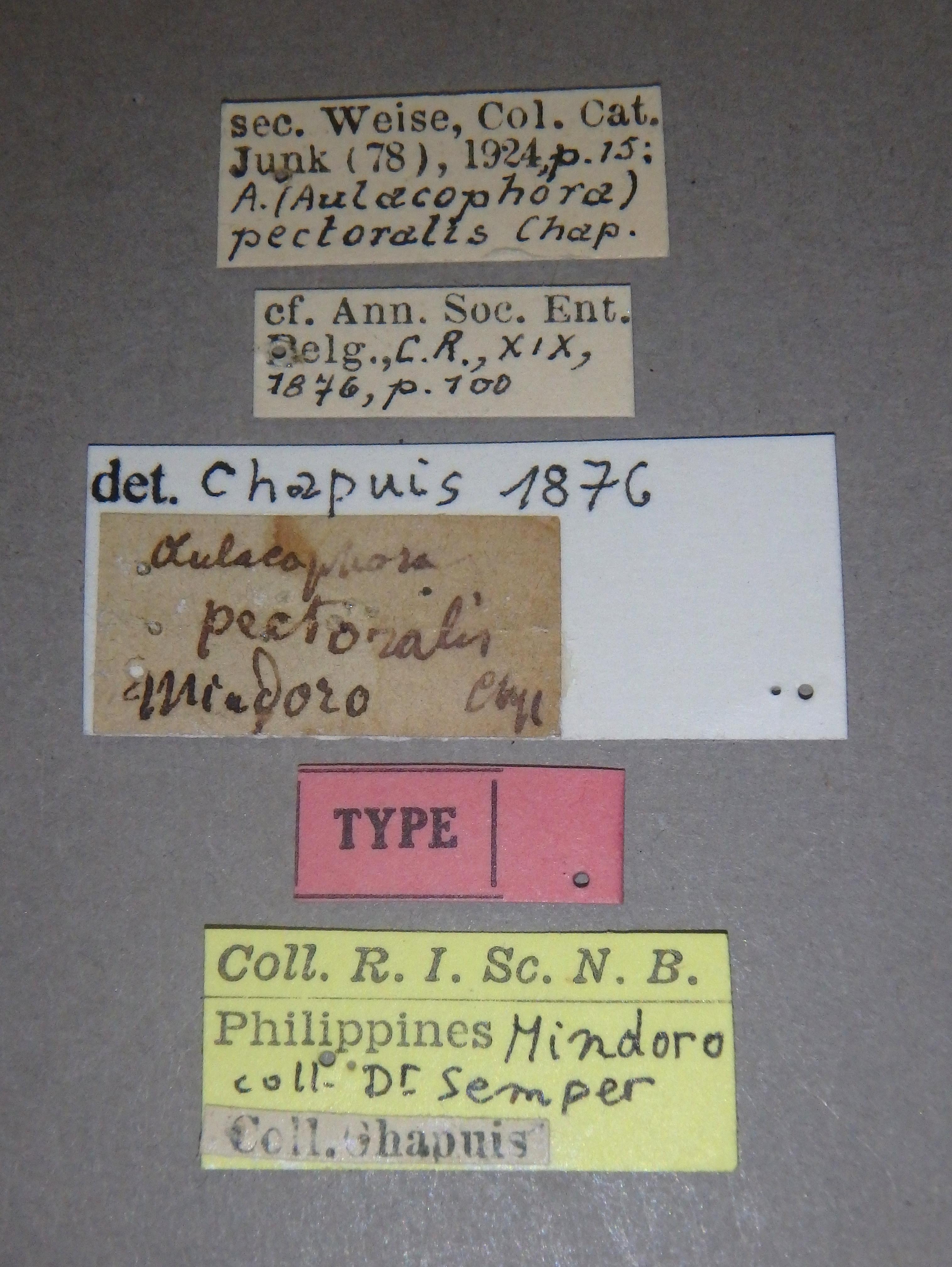 Aulacophora (Aulacophora) pectoralis t Lb.JPG