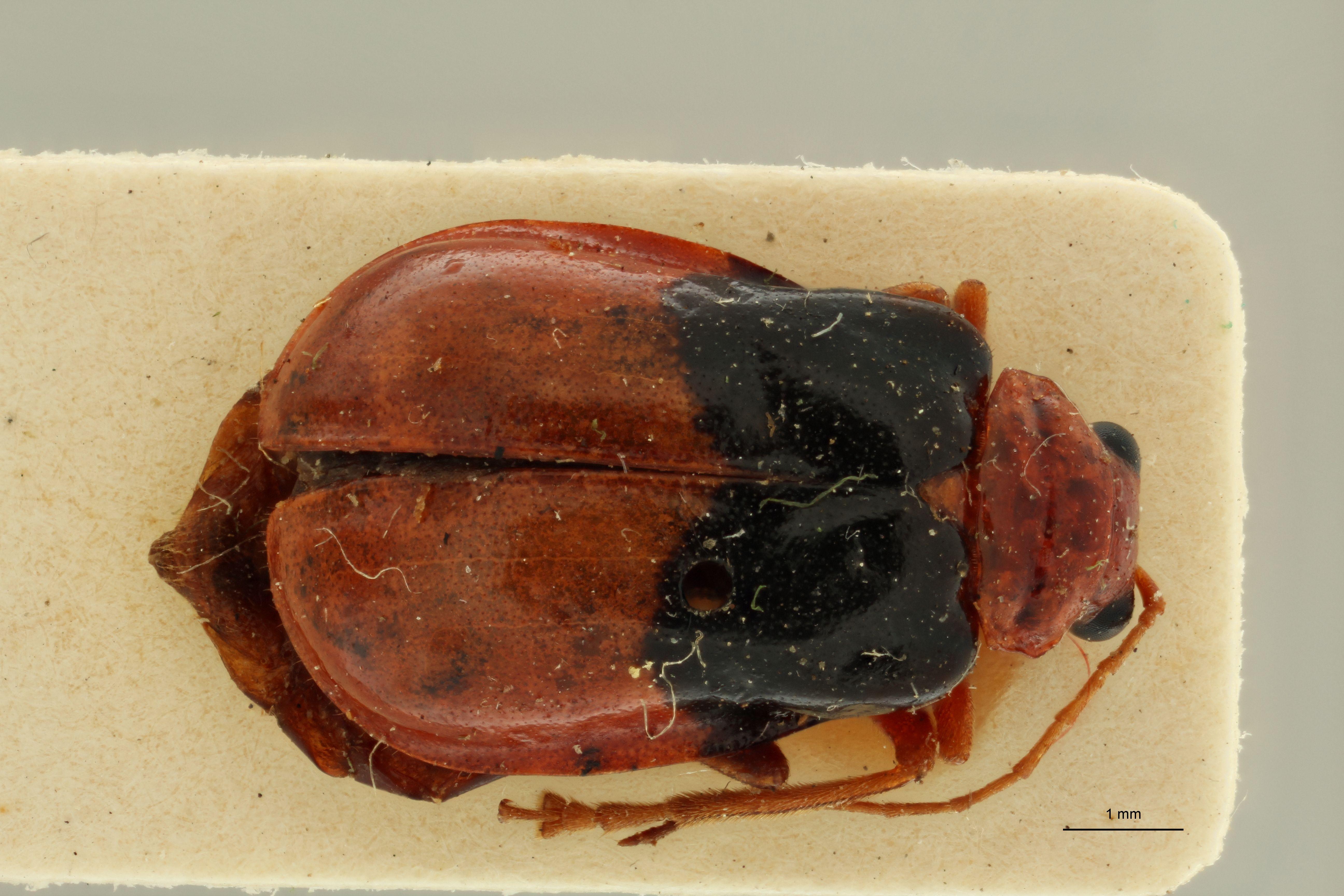 Aulacophora tonkinensis pt D.jpg