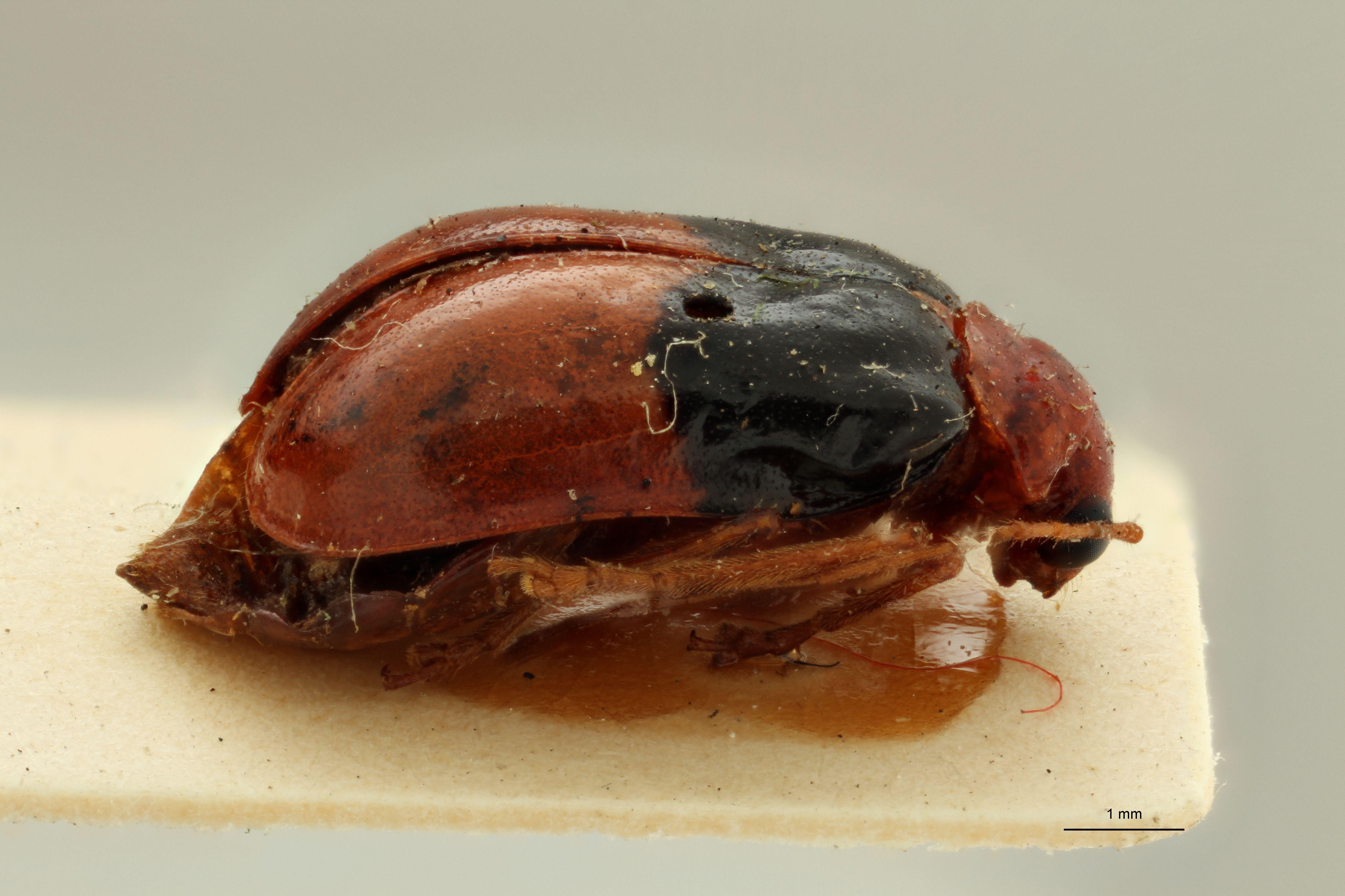 Aulacophora tonkinensis pt L.jpg