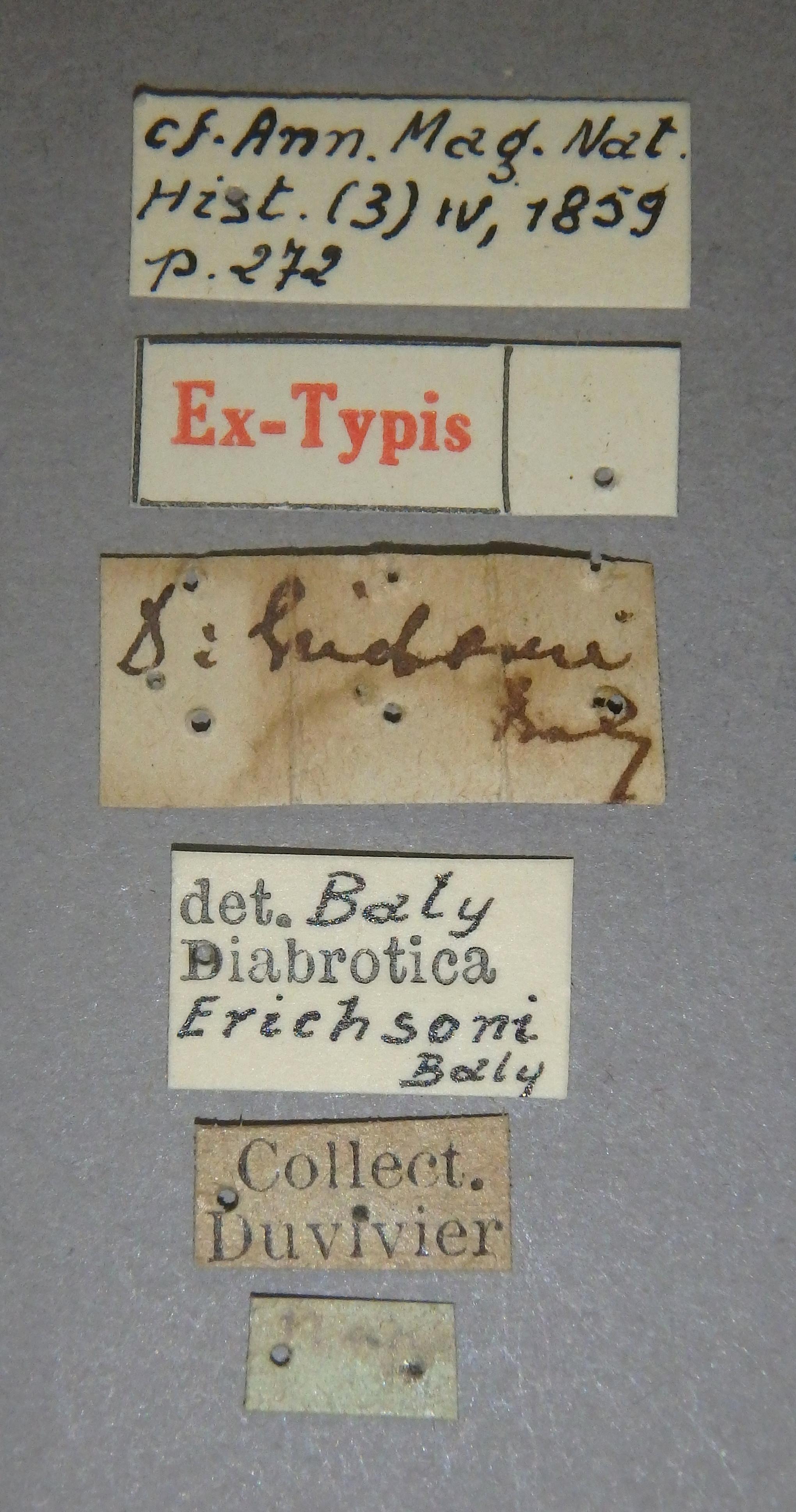 Diabrotica erichsoni et Lb.JPG