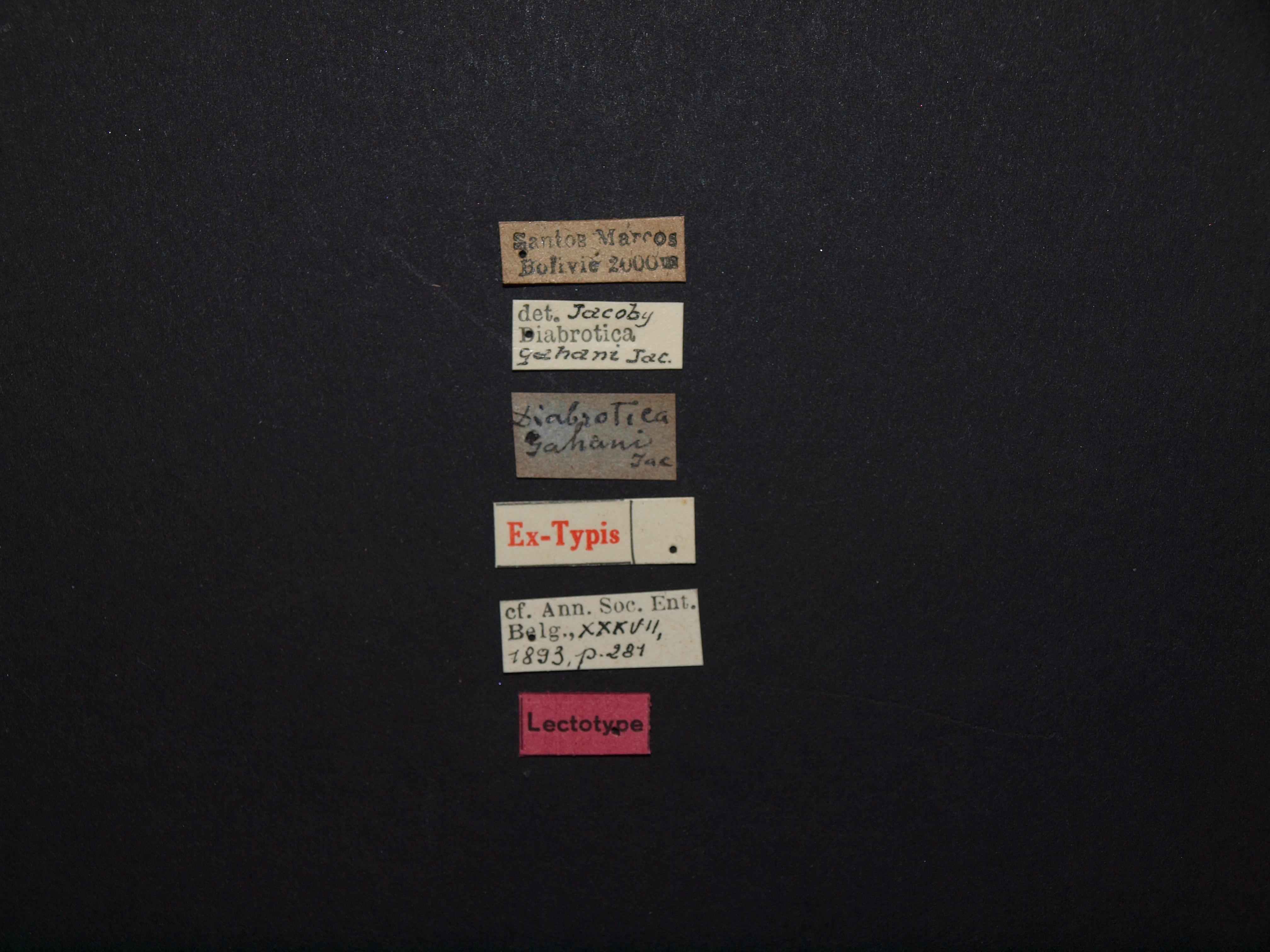Diabrotica gahani lt Labels.JPG