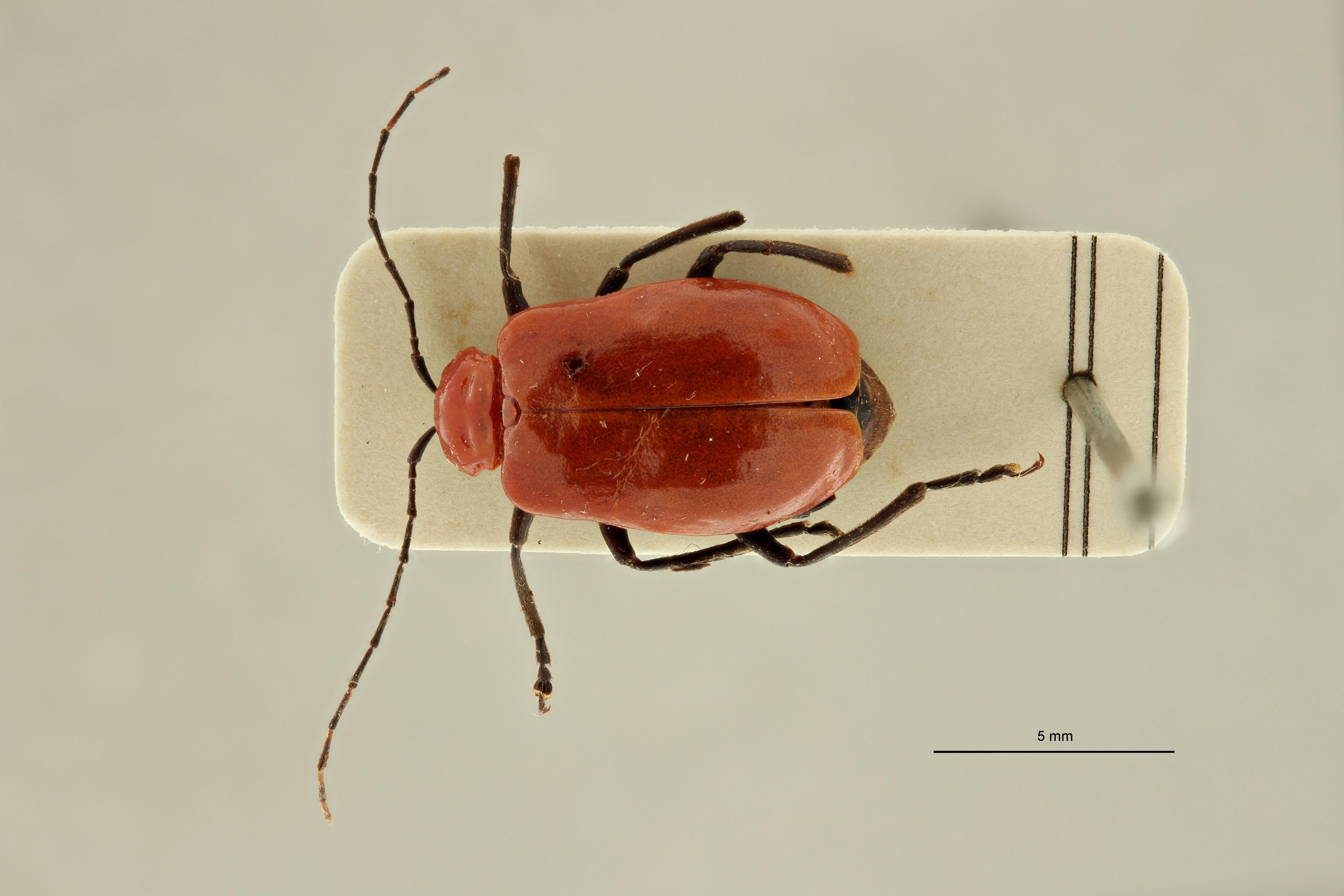 Erythrobapta bennigseni et1 D ZS PMax Scaled.jpeg