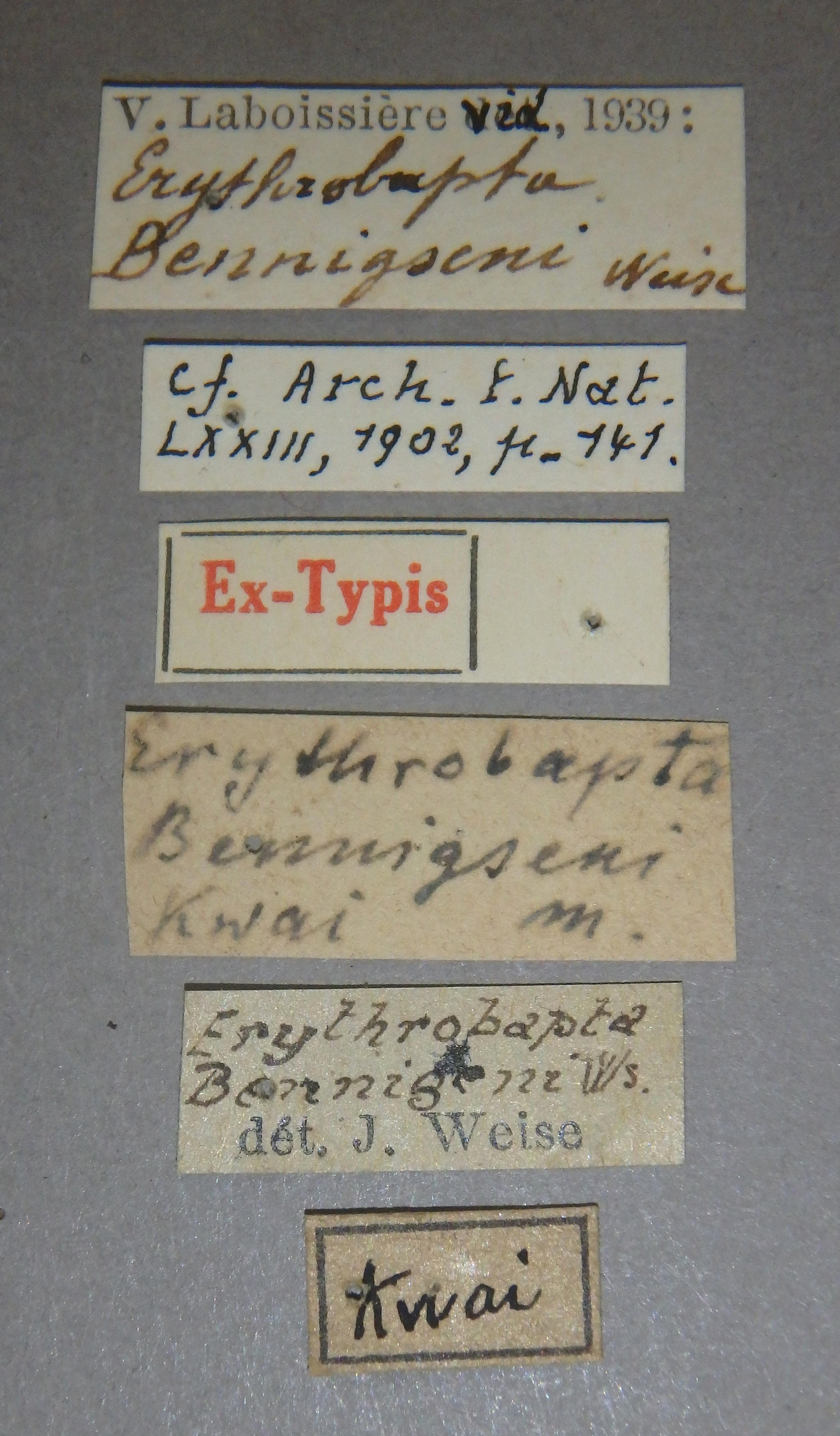 Erythrobapta bennigseni et1 Lb.JPG