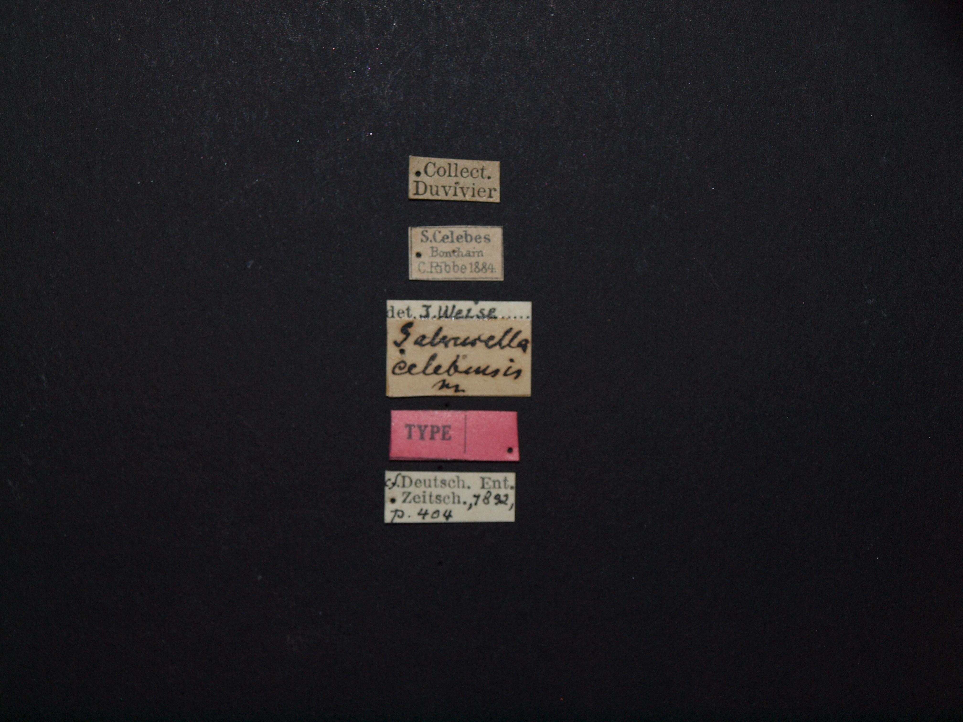 Galerucella celebensis t Labels.JPG