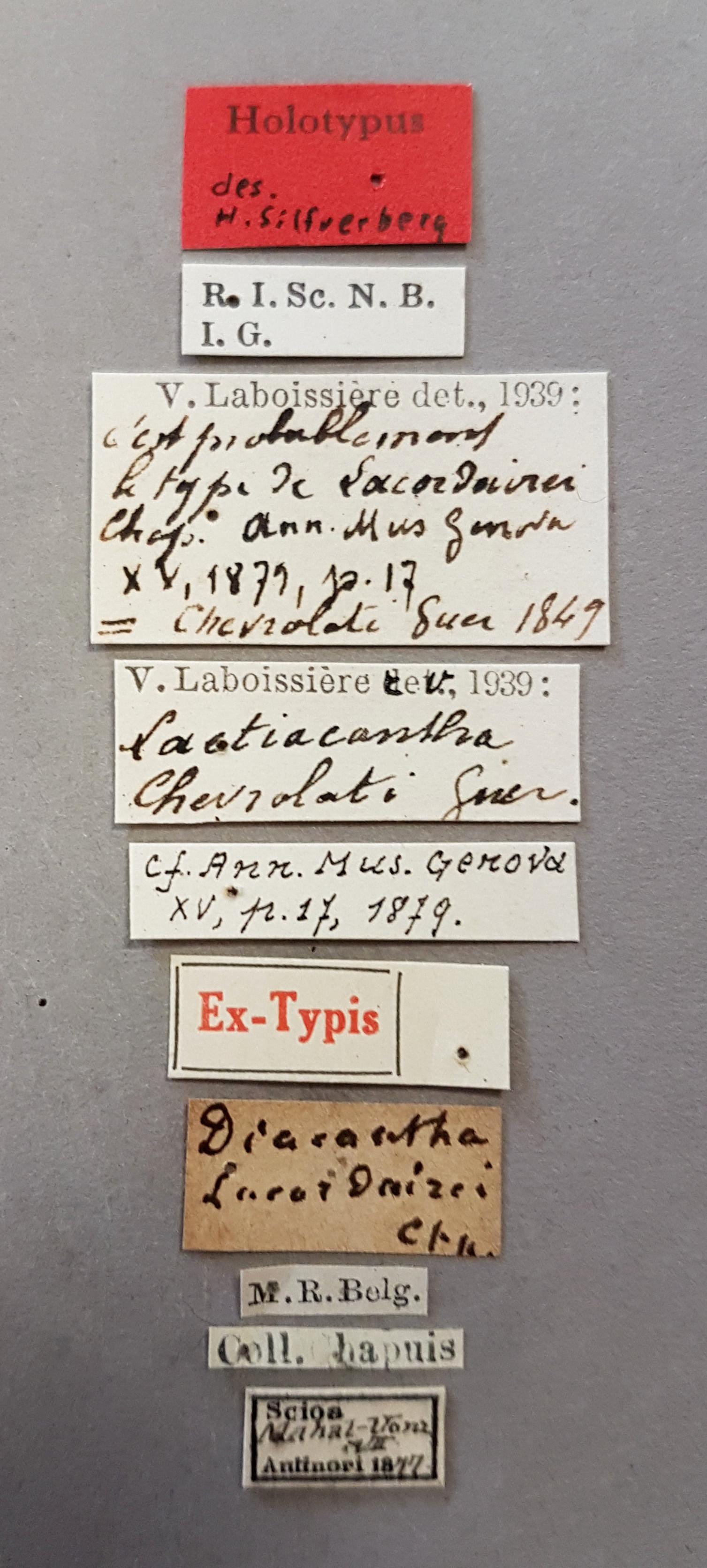 Laetiacantha chevrolati ht Lb.jpg