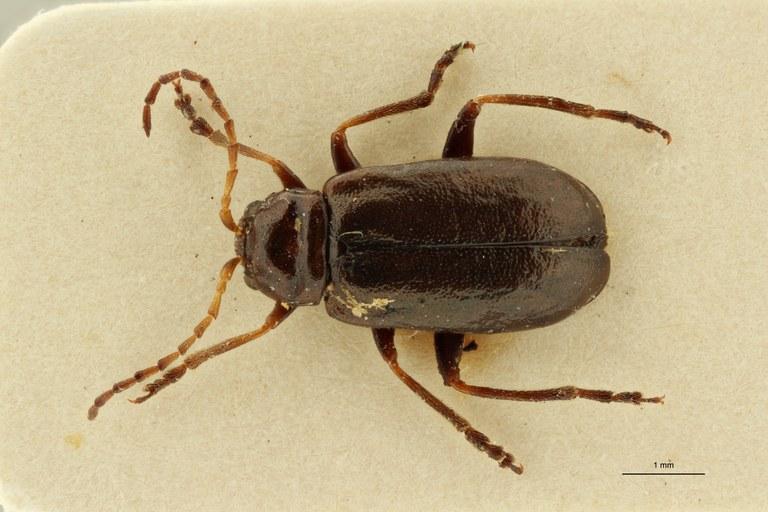 Leptaulaca nigra pt D ZS PMax Scaled.jpeg