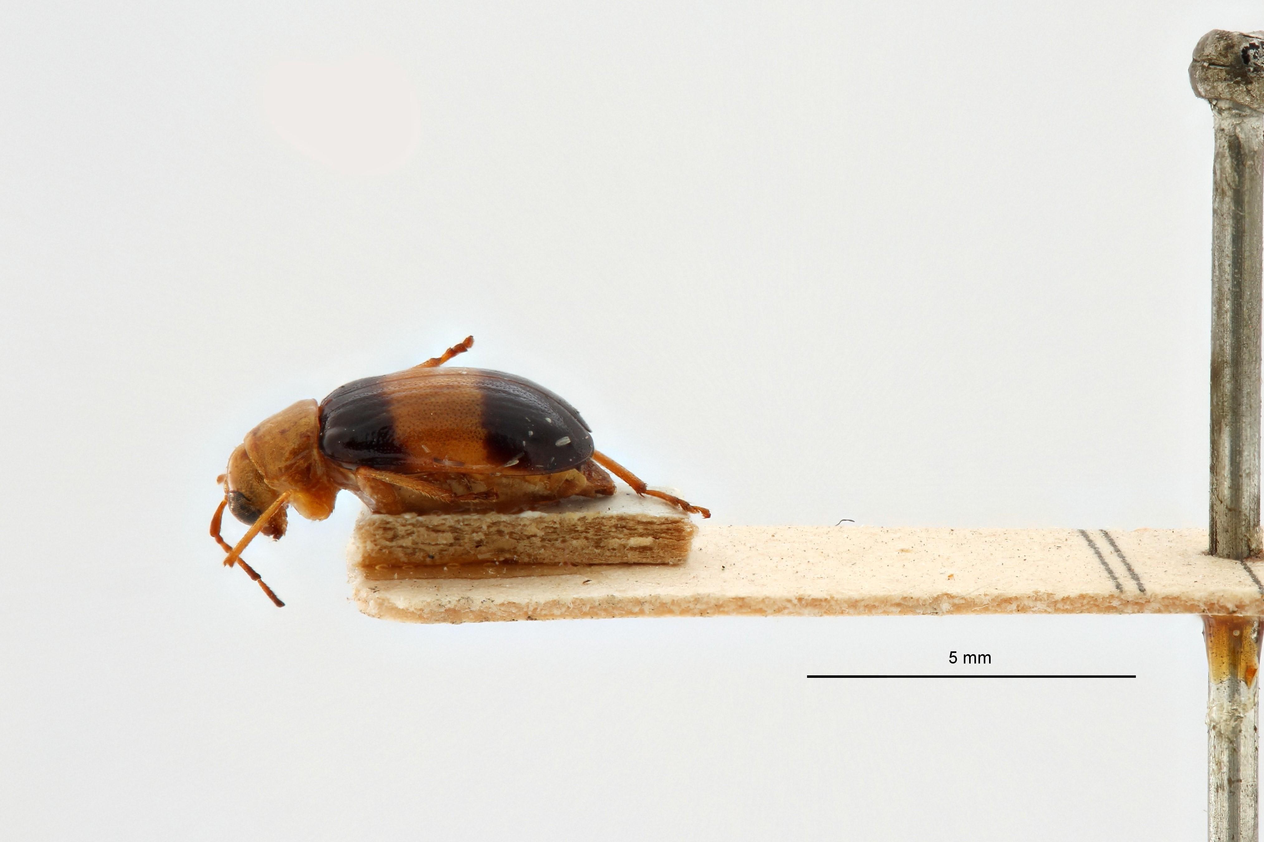 Neodrana fasciata t L.jpg
