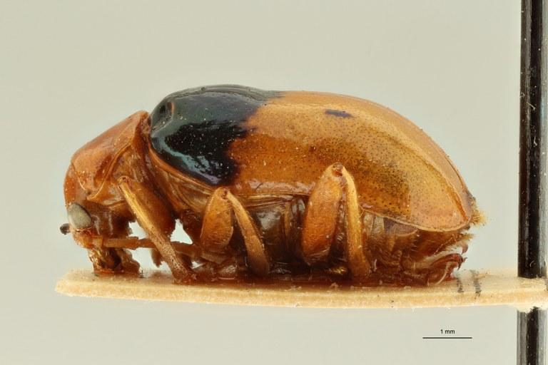 Neolaetana basalis pt L ZS PMax Scaled.jpeg
