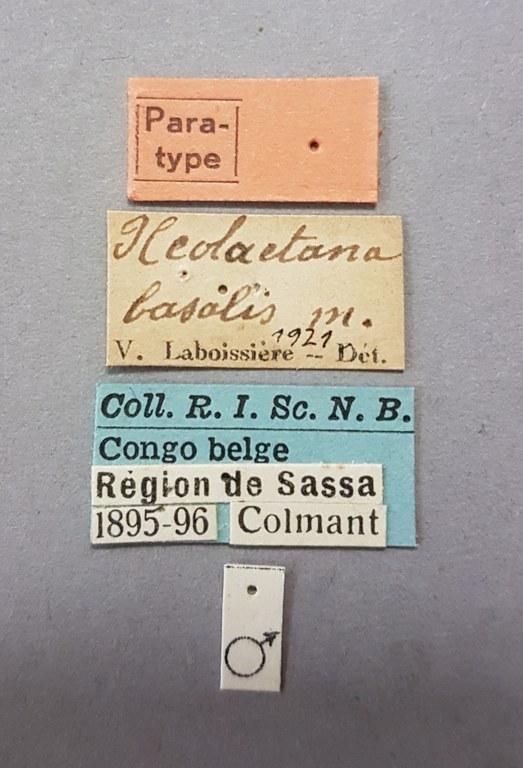 Neolaetana basalis pt Lb.jpg