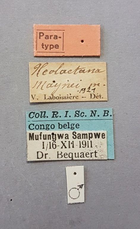Neolaetana maynei pt Lb.jpg