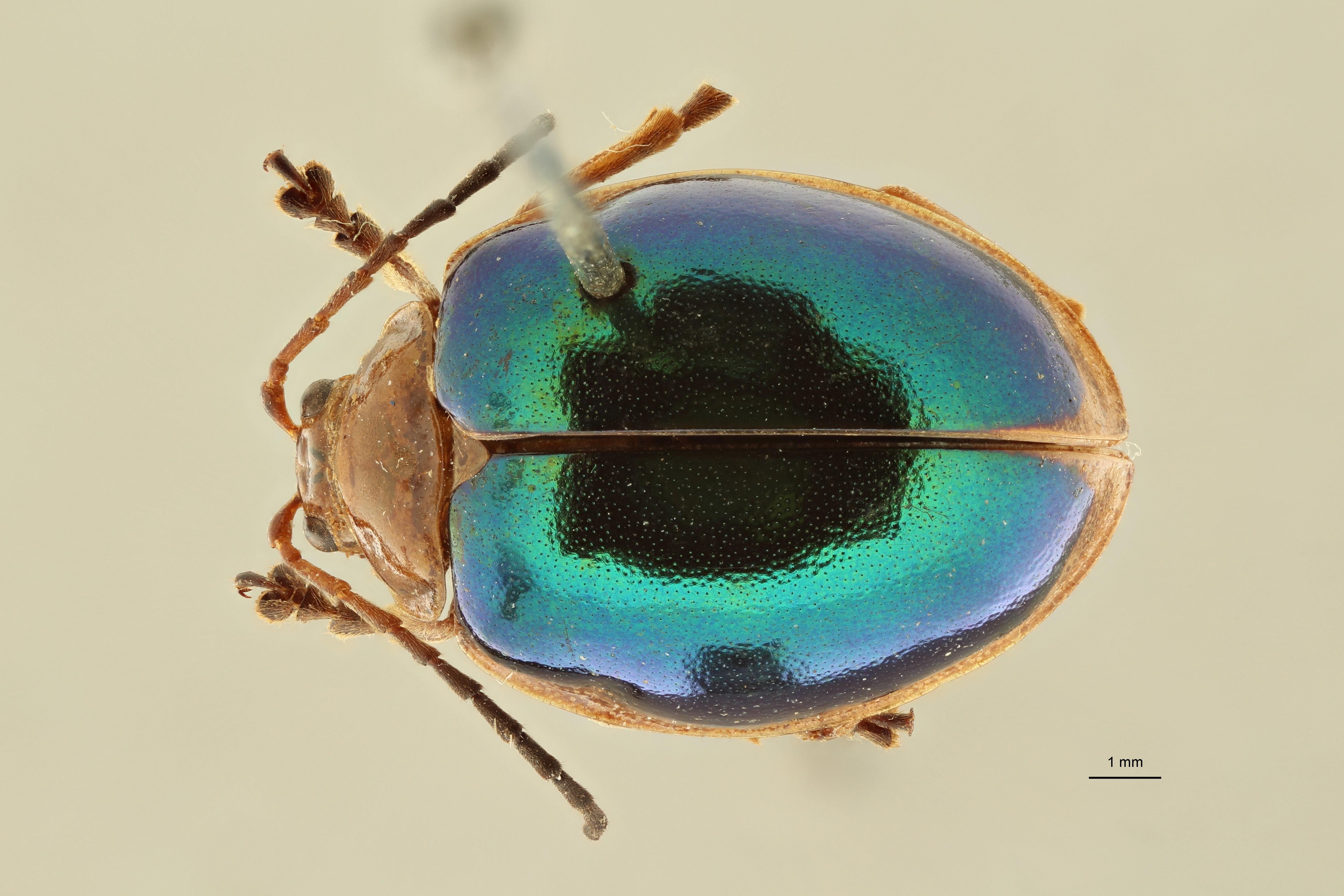 Oides elegans pt2 D ZS PMax Scaled.jpeg