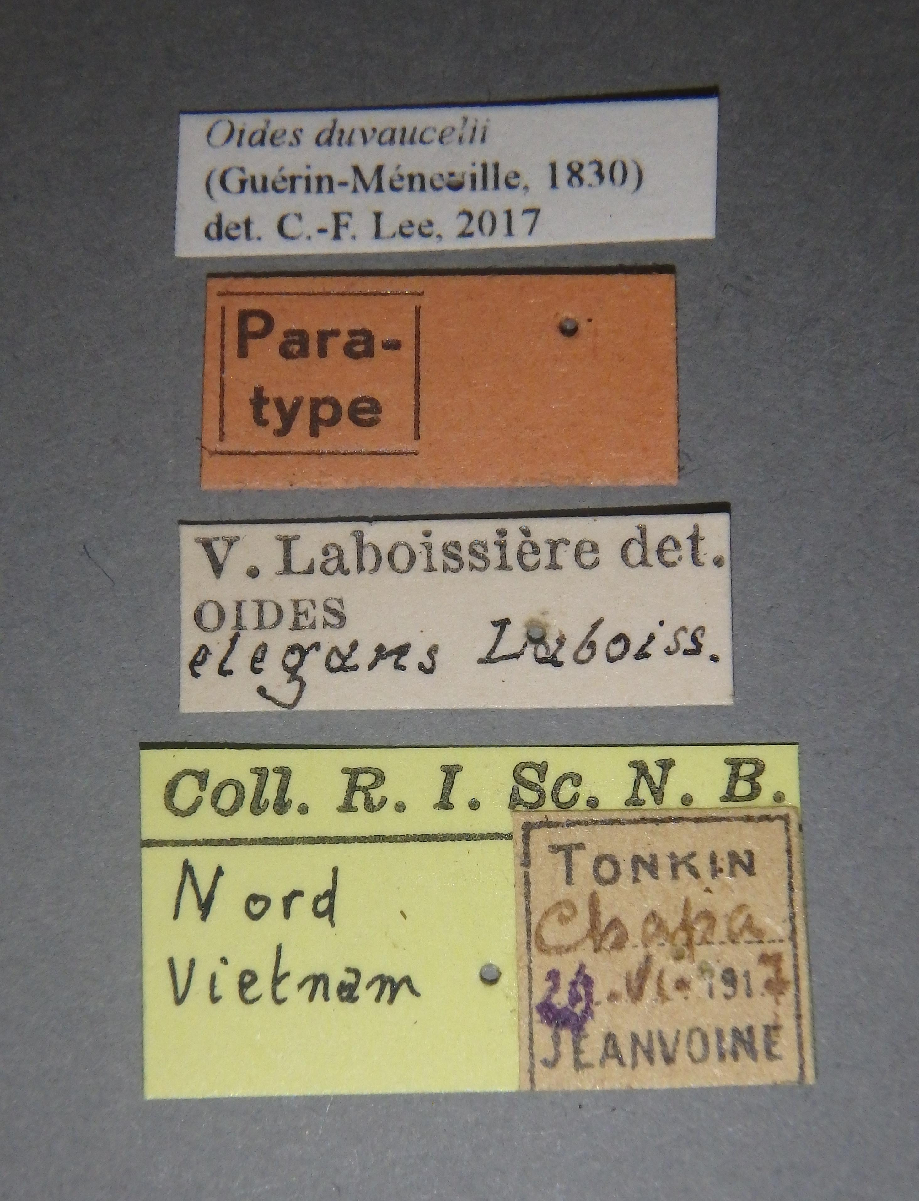 Oides elegans pt1 Lb.JPG