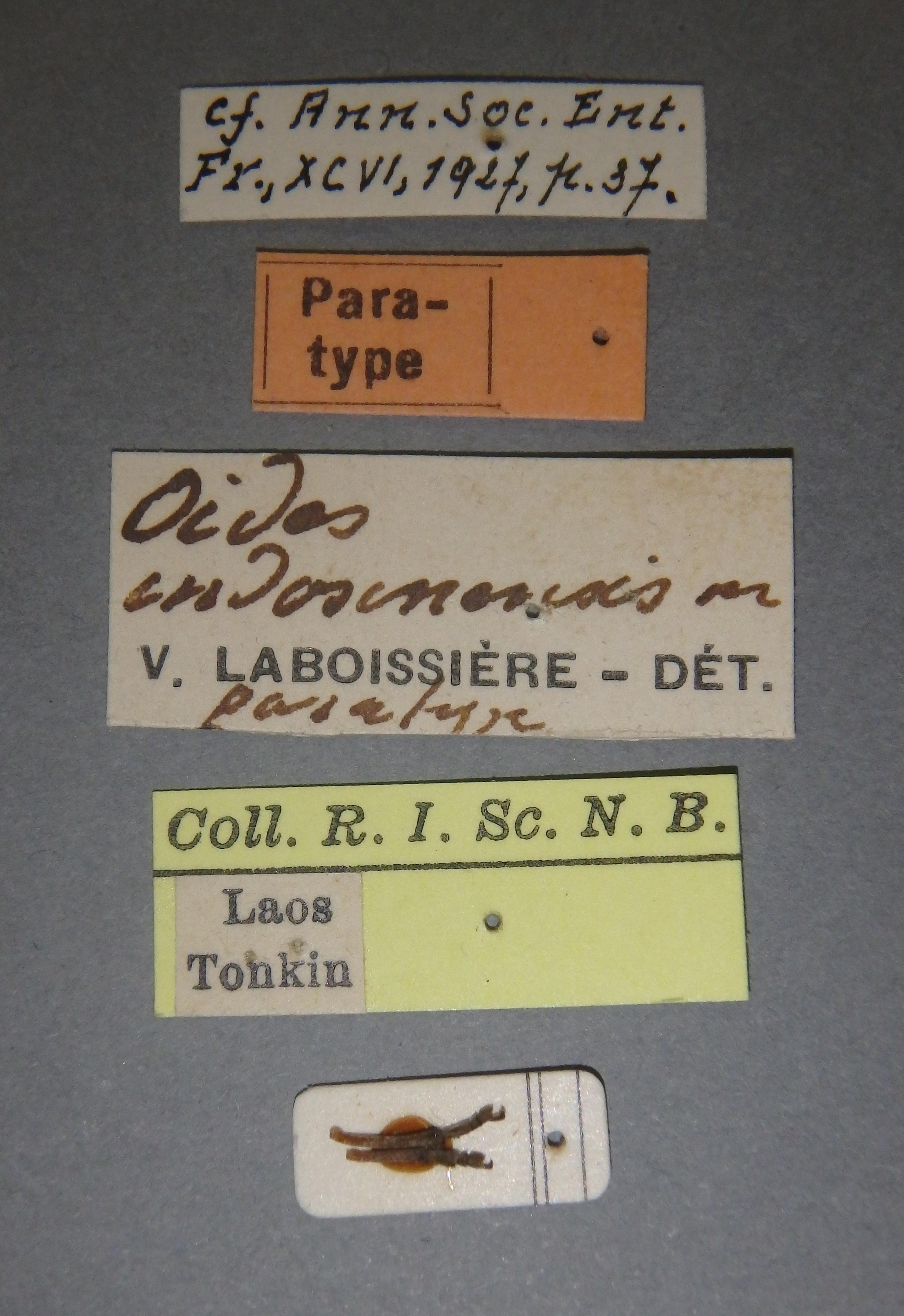 Oides indosinensis pt Lb.JPG