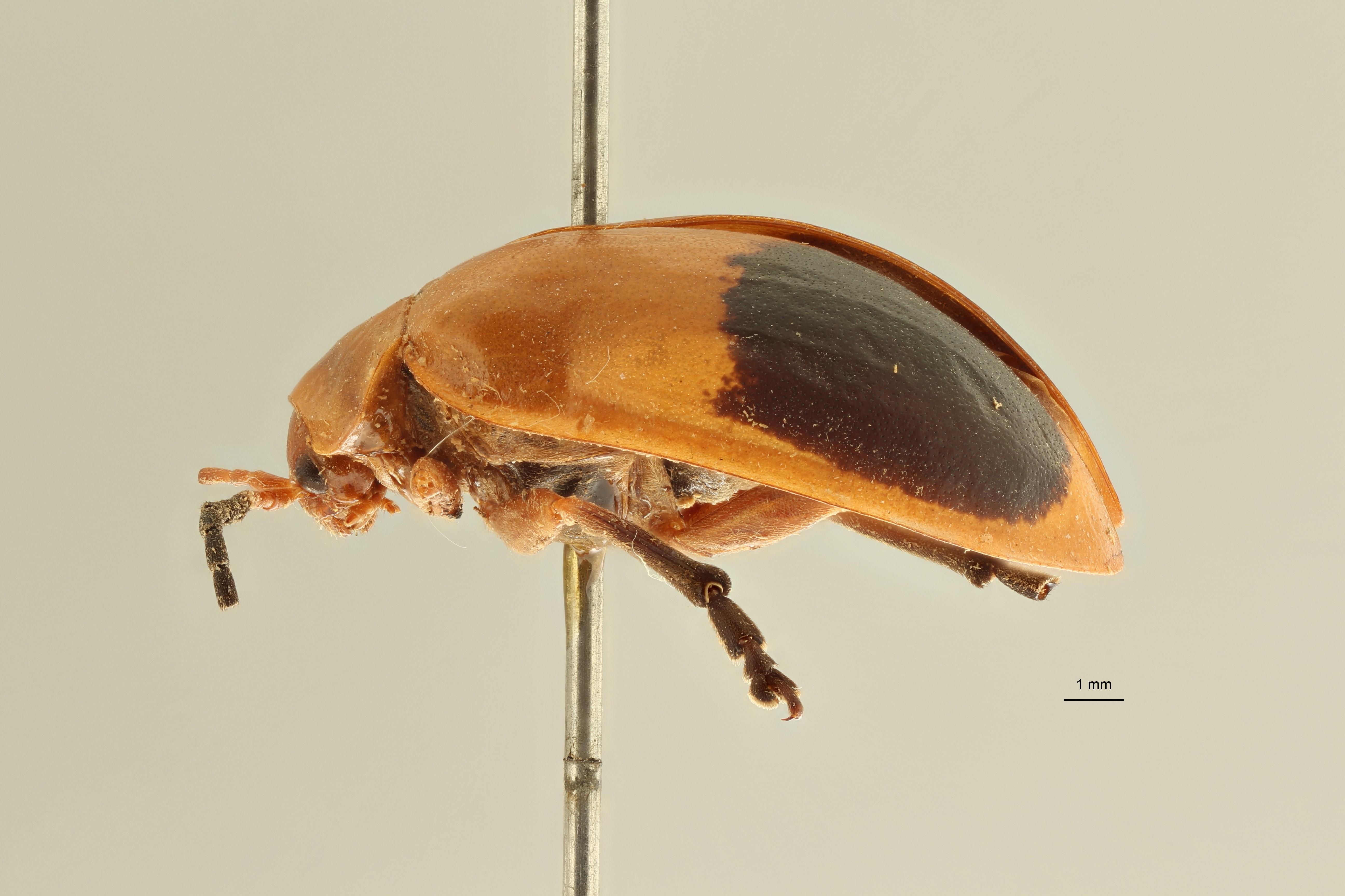 Oides indosinensis pt L ZS PMax Scaled.jpeg