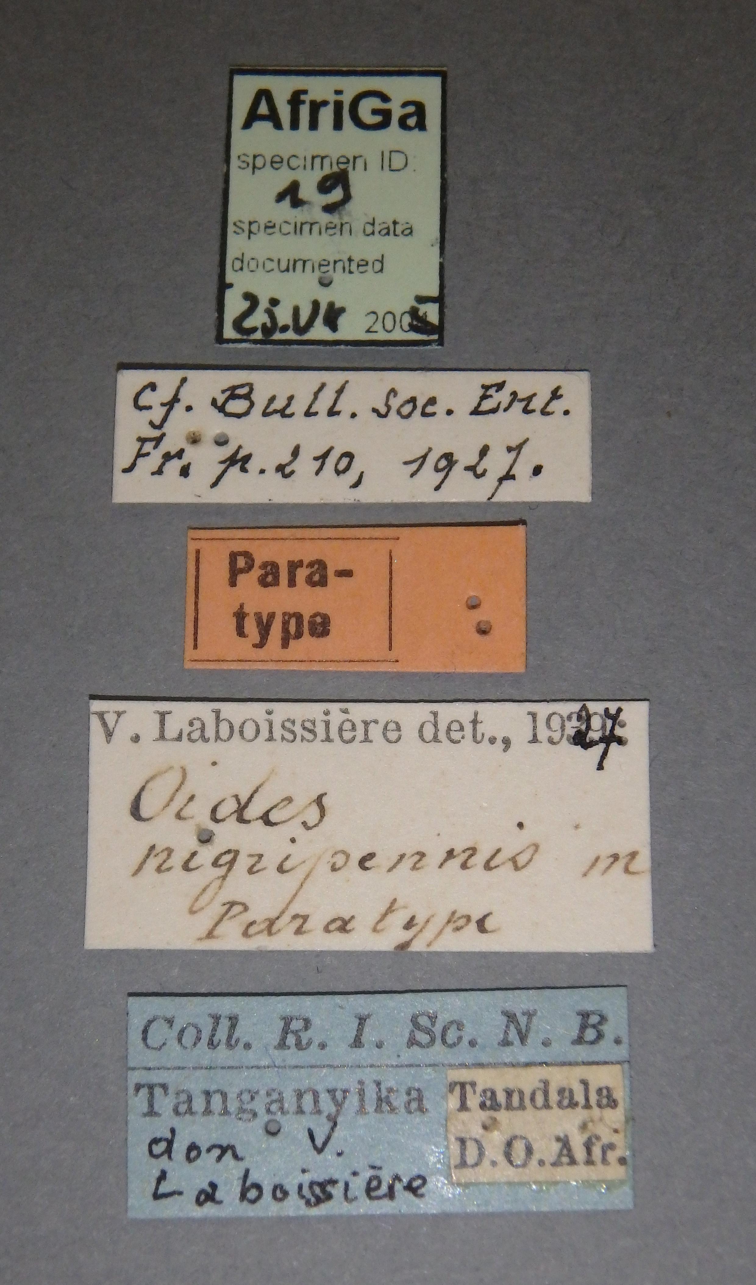 Oides nigripennis pt Lb.JPG