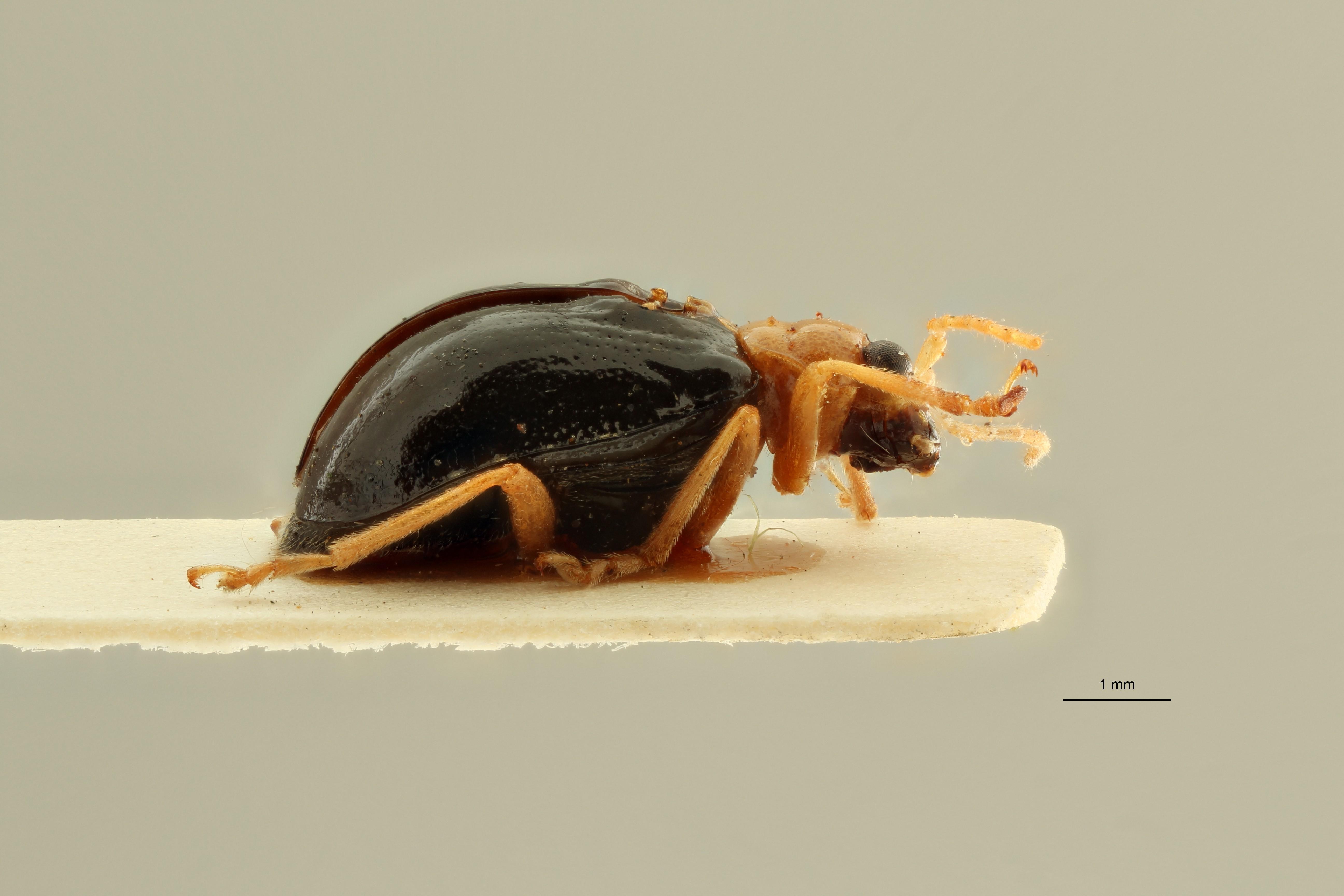 Pseudocophora javanensis pt L ZS PMax Scaled.jpeg
