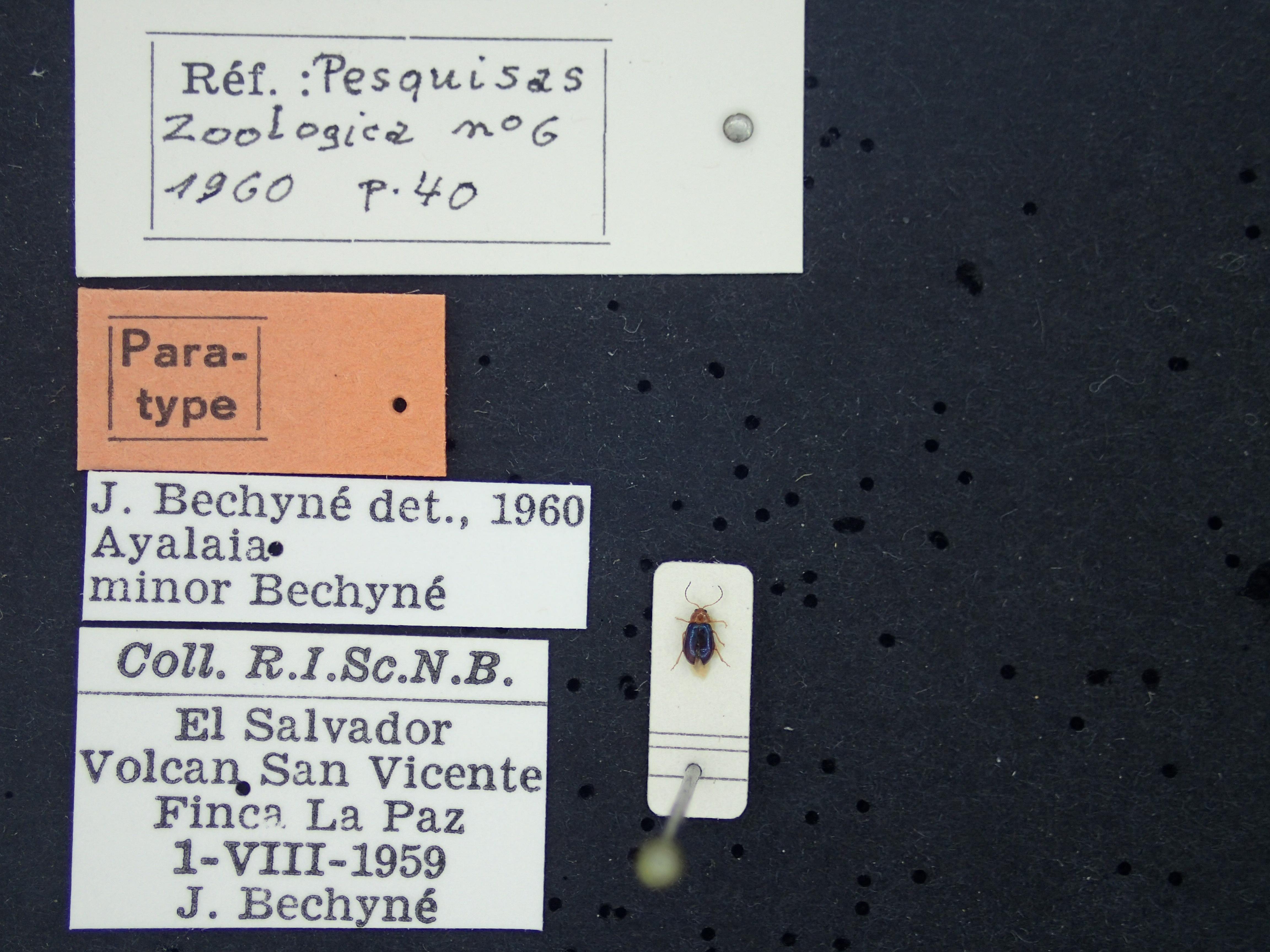 BE-RBINS-ENT Ayalaia minor K39_D01_070 Label.JPG