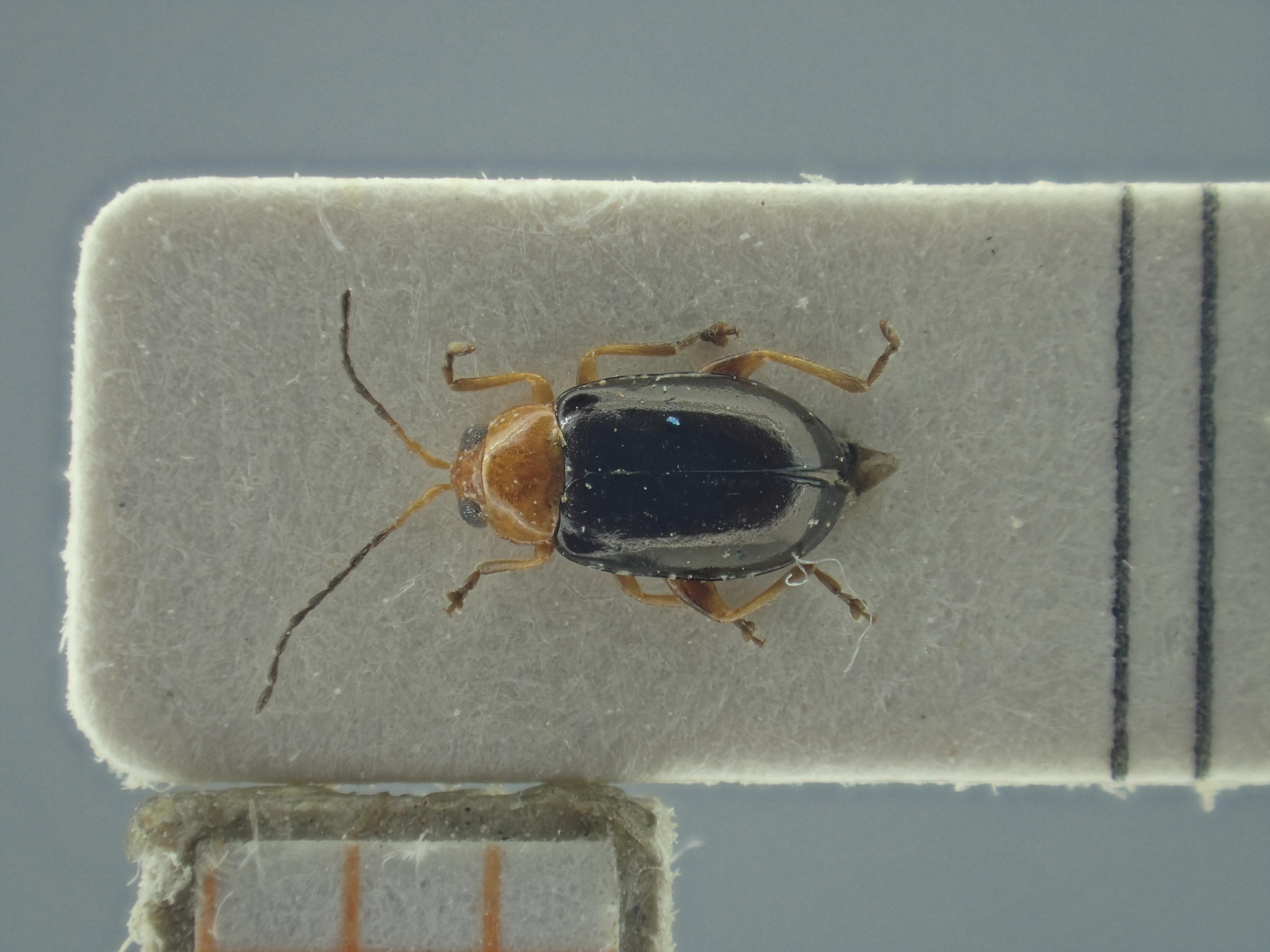 BE-RBINS-ENT Ayalaia salvadorensis K39_D01_077 Dorsal.jpg