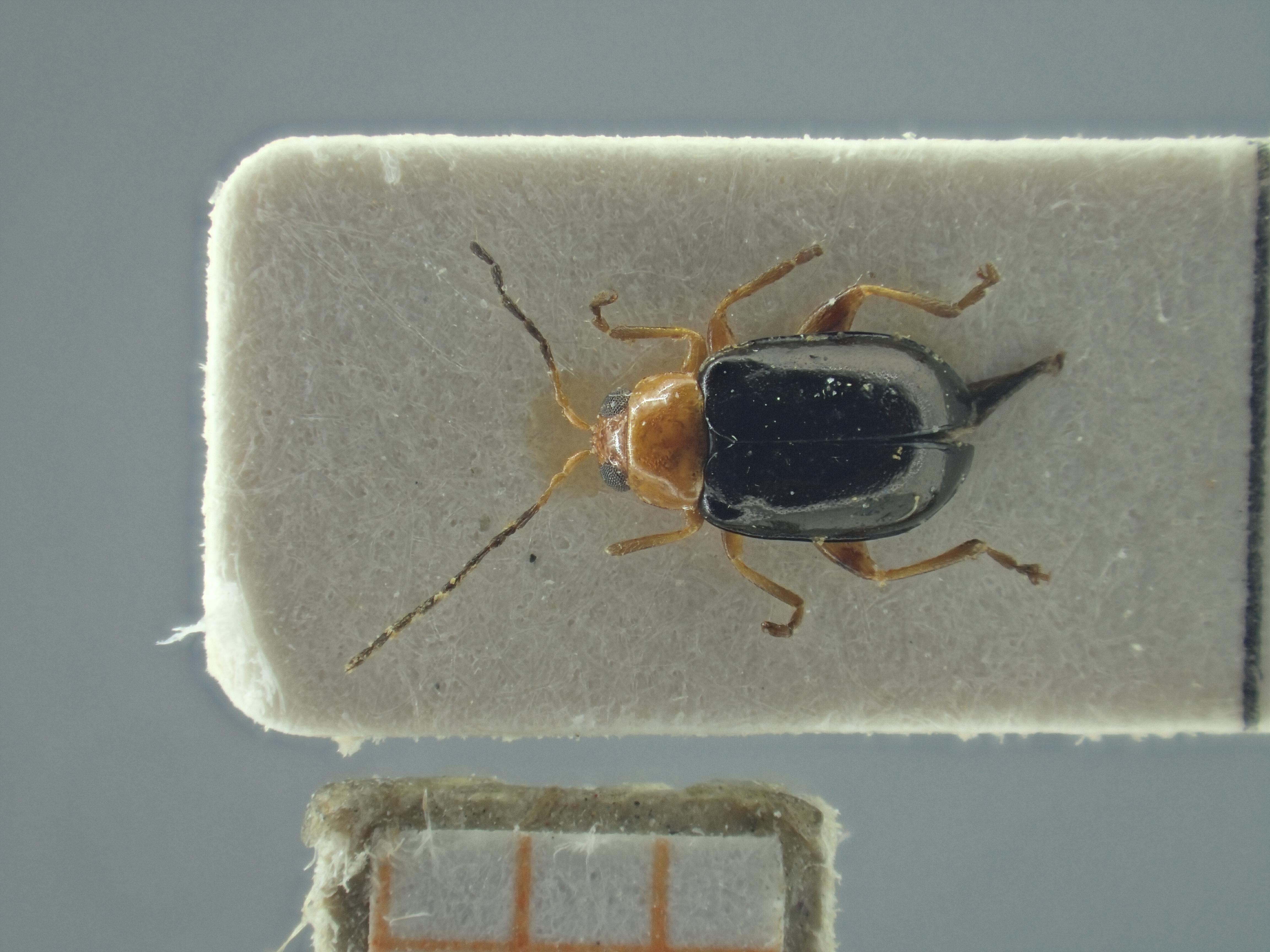 BE-RBINS-ENT Ayalaia salvadorensis K39_D01_086 Dorsal.jpg