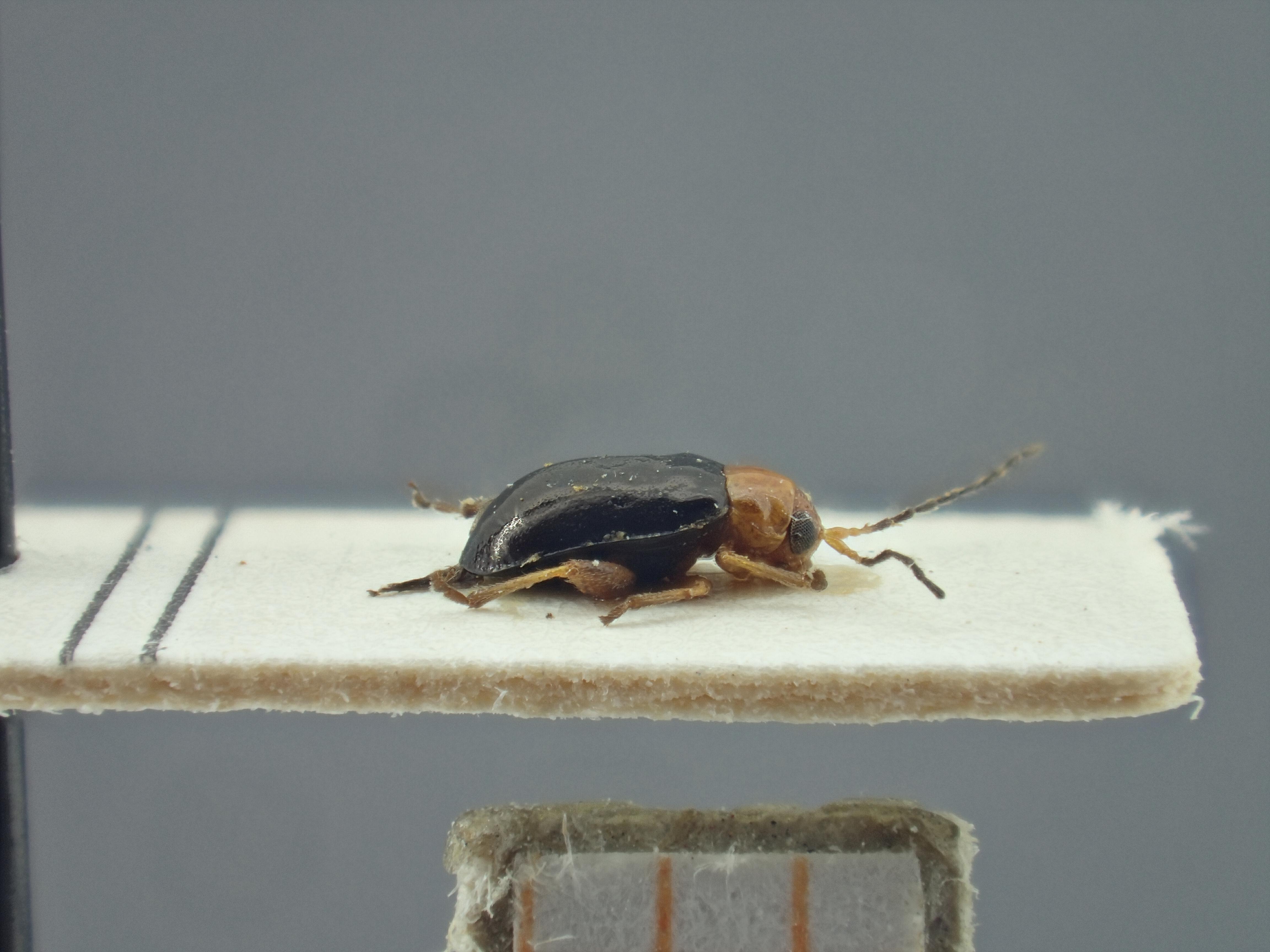 BE-RBINS-ENT Ayalaia salvadorensis K39_D01_086 Lateral.jpg