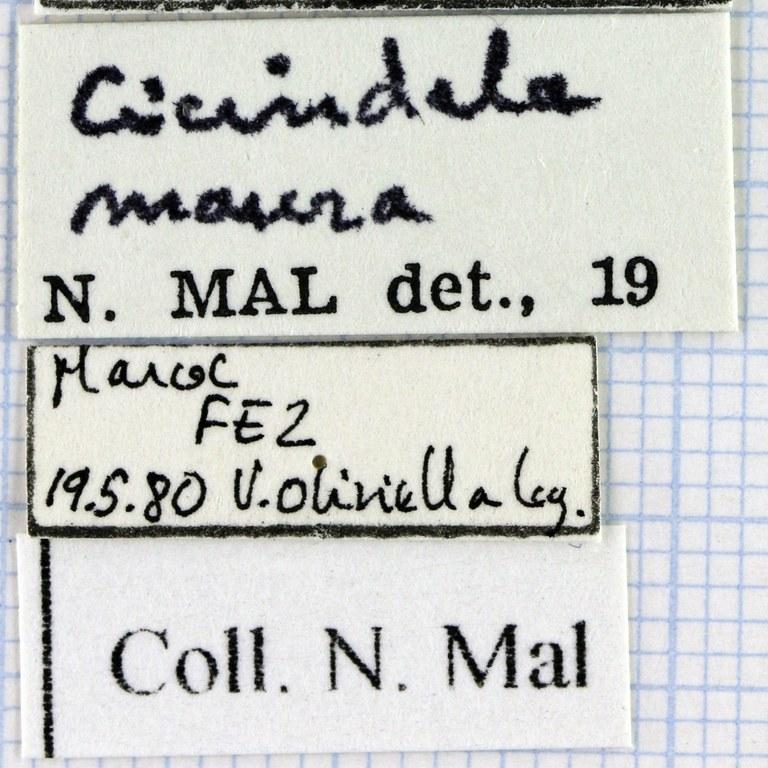 Cephalota (Cassolaia) maura 44750.jpg