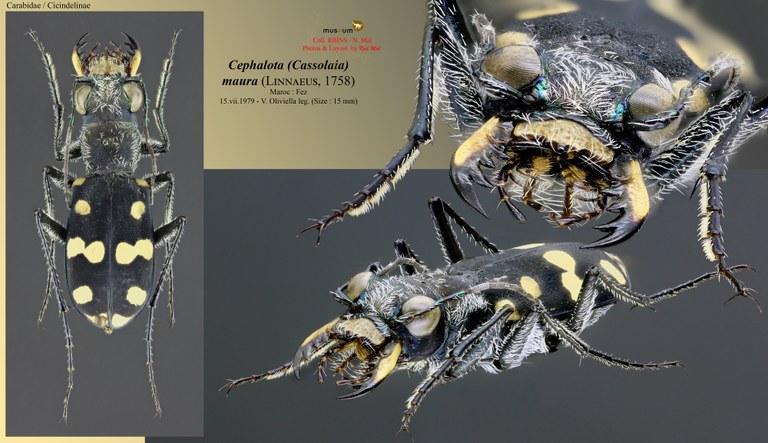 Cephalota (Cassolaia) maura.jpg