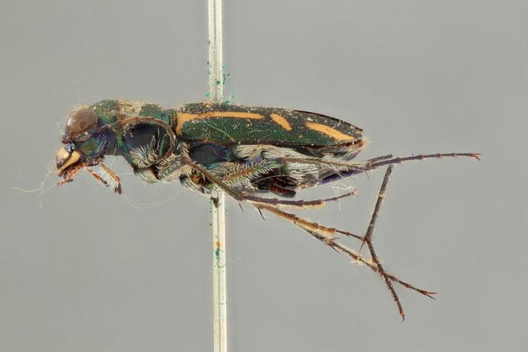 Cicindela (Ancylia) ceylonensis plt L ZS PMax.jpg
