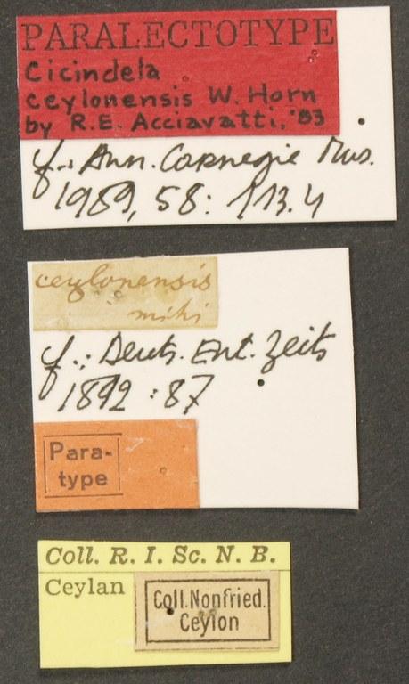 Cicindela (Ancylia) ceylonensis plt LB.JPG