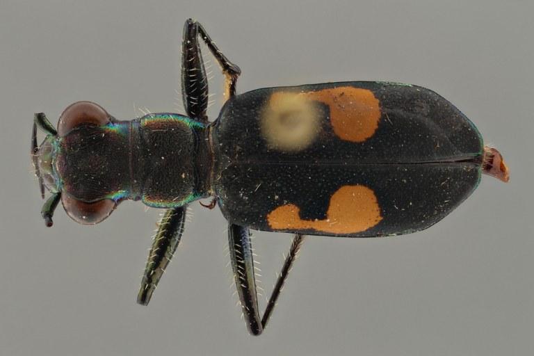 Cicindela (Calochroa) salvazai pt D ZS PMax.jpg