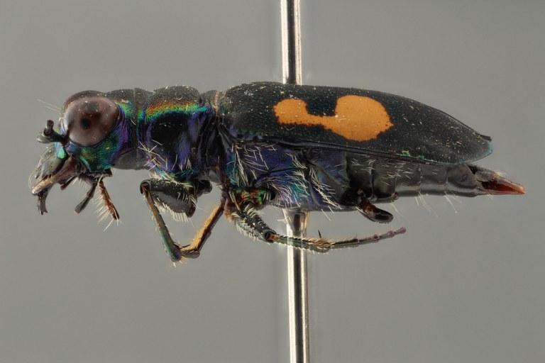 Cicindela (Calochroa) salvazai pt L ZS PMax.jpg