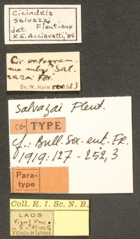 Cicindela (Calochroa) salvazai pt LB.JPG