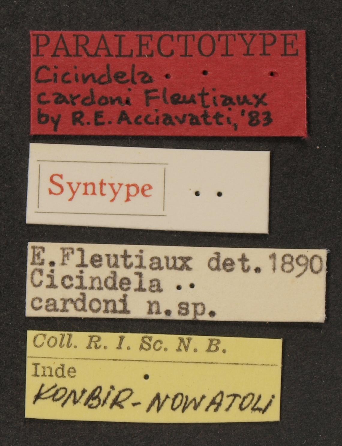 Cicindela (Calomera) cardoni plt LB.JPG