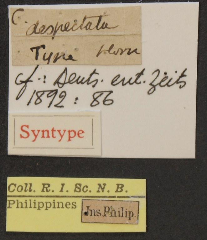 Cicindela (Calomera) despectata syn LB.JPG