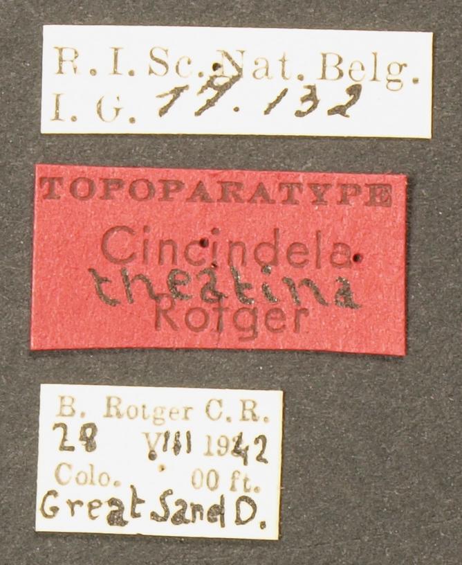 Cicindela (Cicindela) theatina pt LB.JPG