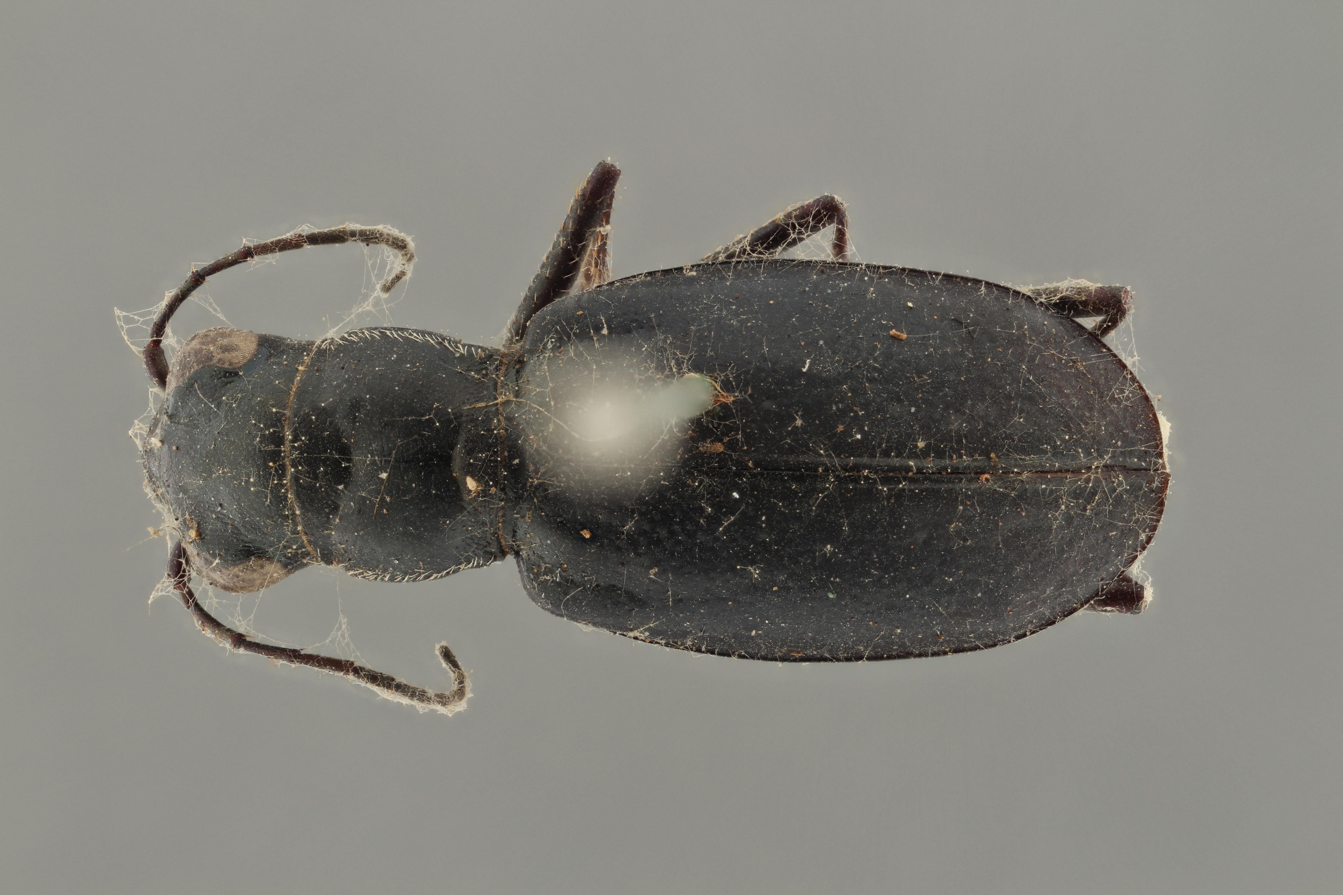 Cicindela (Cicindelidia) nigrilabris pt D ZS PMax.jpg