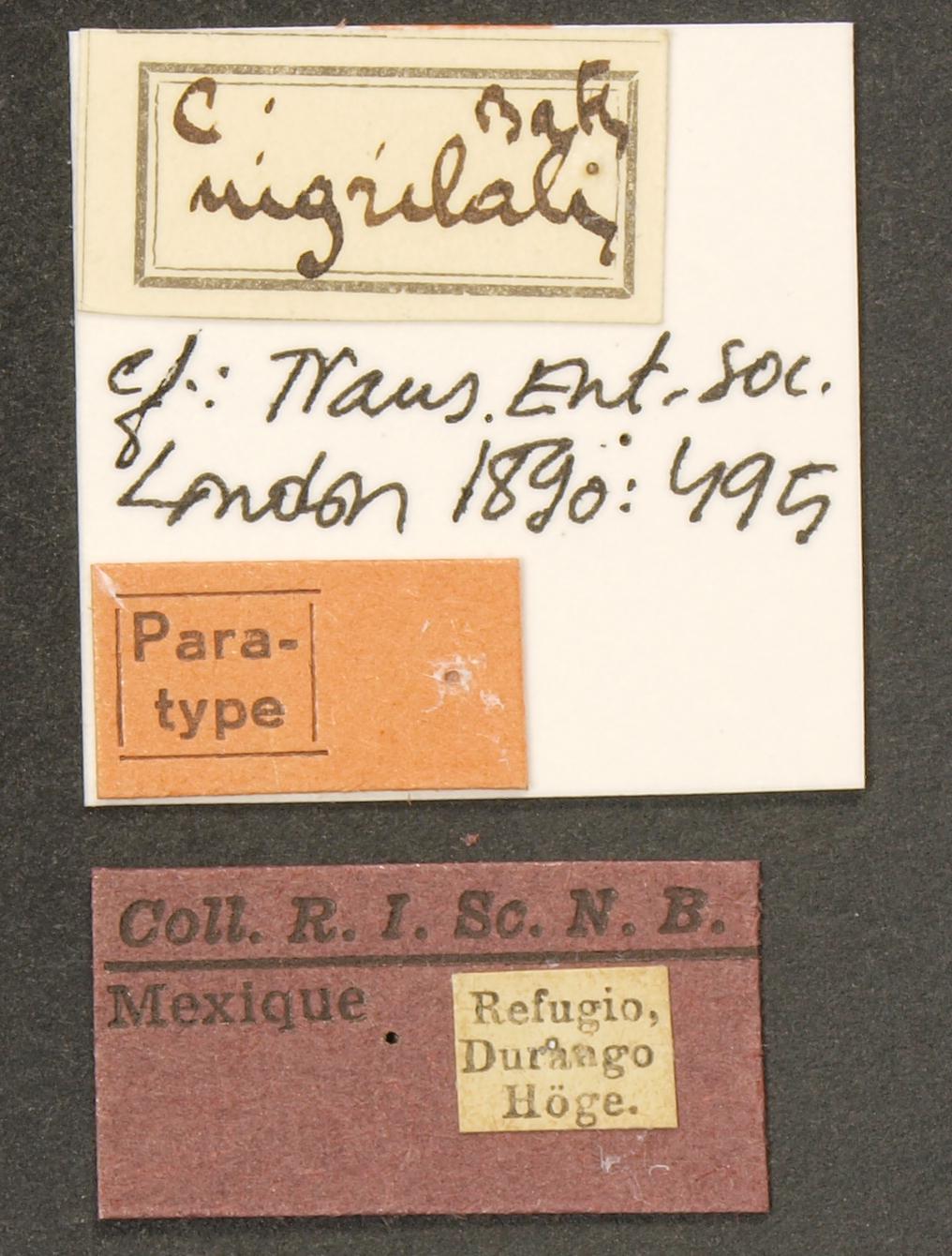 Cicindela (Cicindelidia) nigrilabris pt LB.JPG